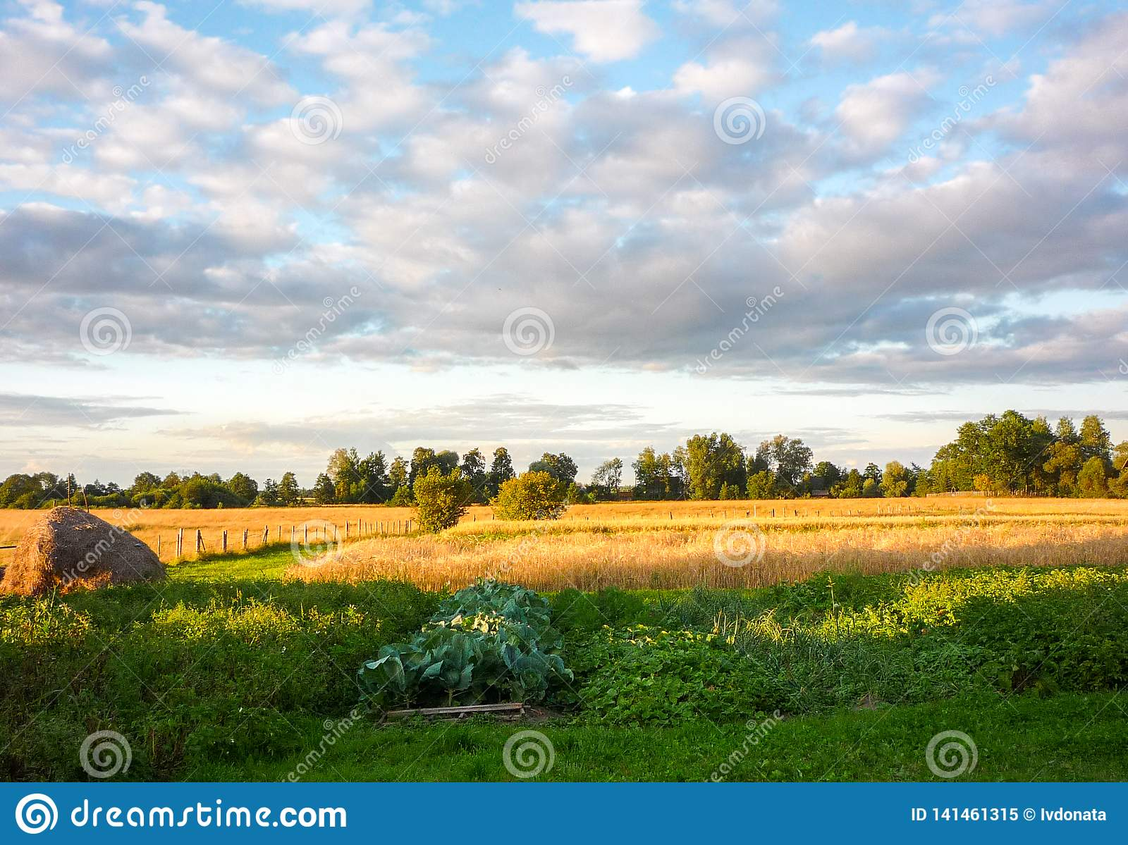 Wheat grain field on summer cloudy day. Stack of hay and beds with vegetables in the foreground