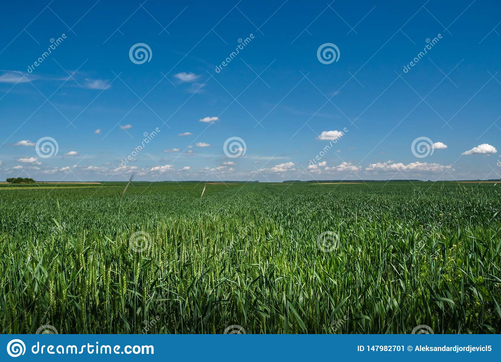 Wheat grass field with colorful blue skies
