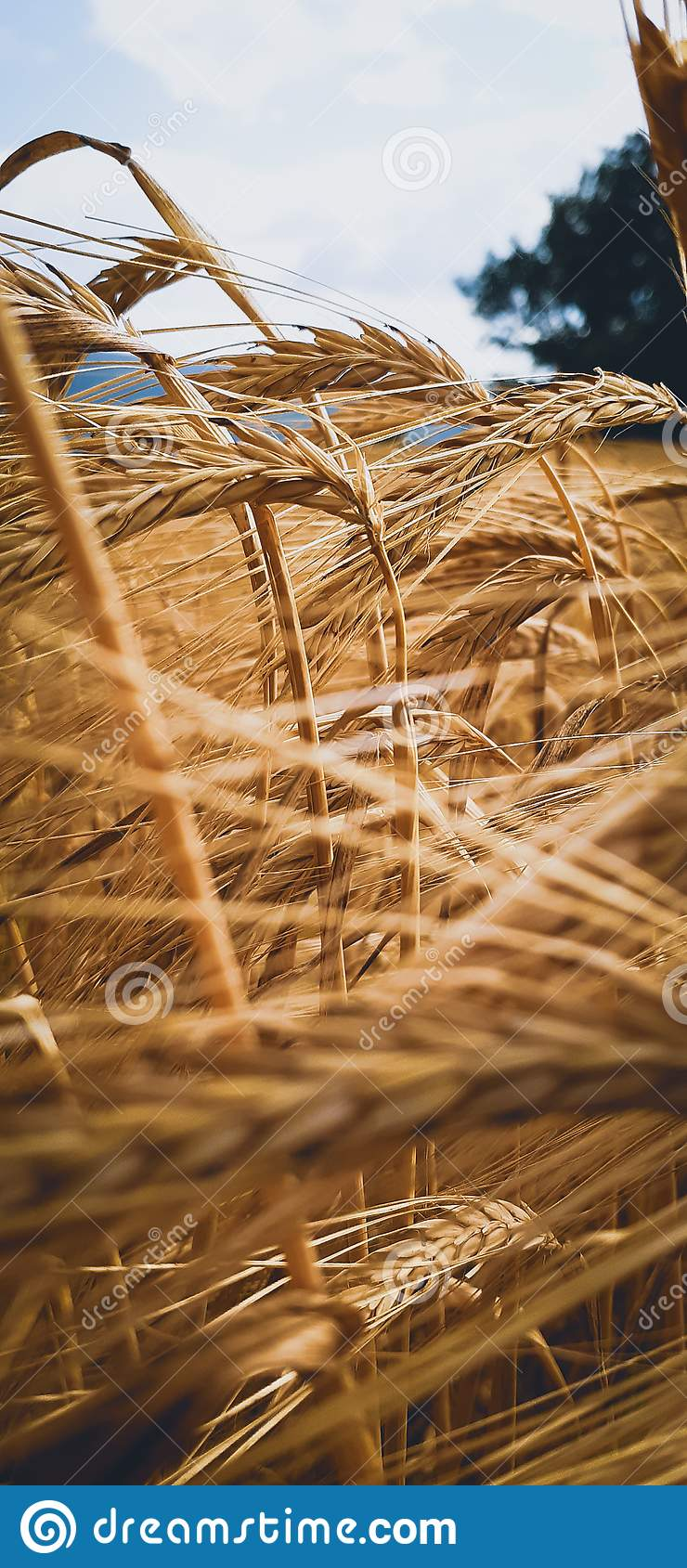 Gold of Herzegovina, wheat in gold field