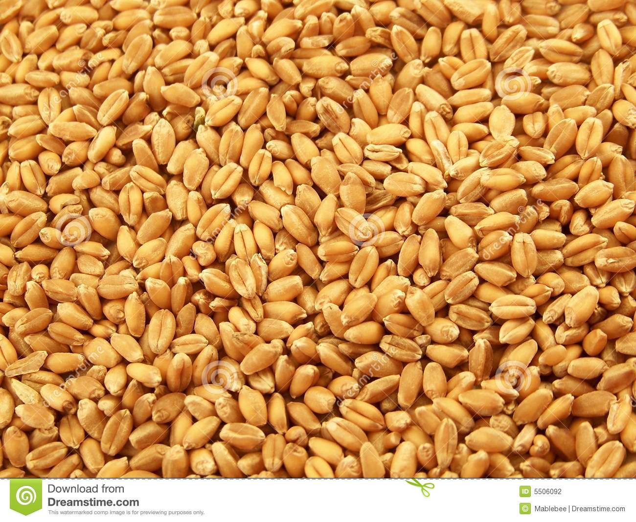 wheat kernels stock photo image of food wheat uncooked 5506092. Black Bedroom Furniture Sets. Home Design Ideas
