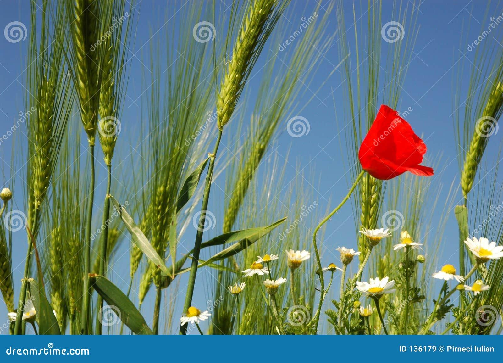 Wheat ok sky