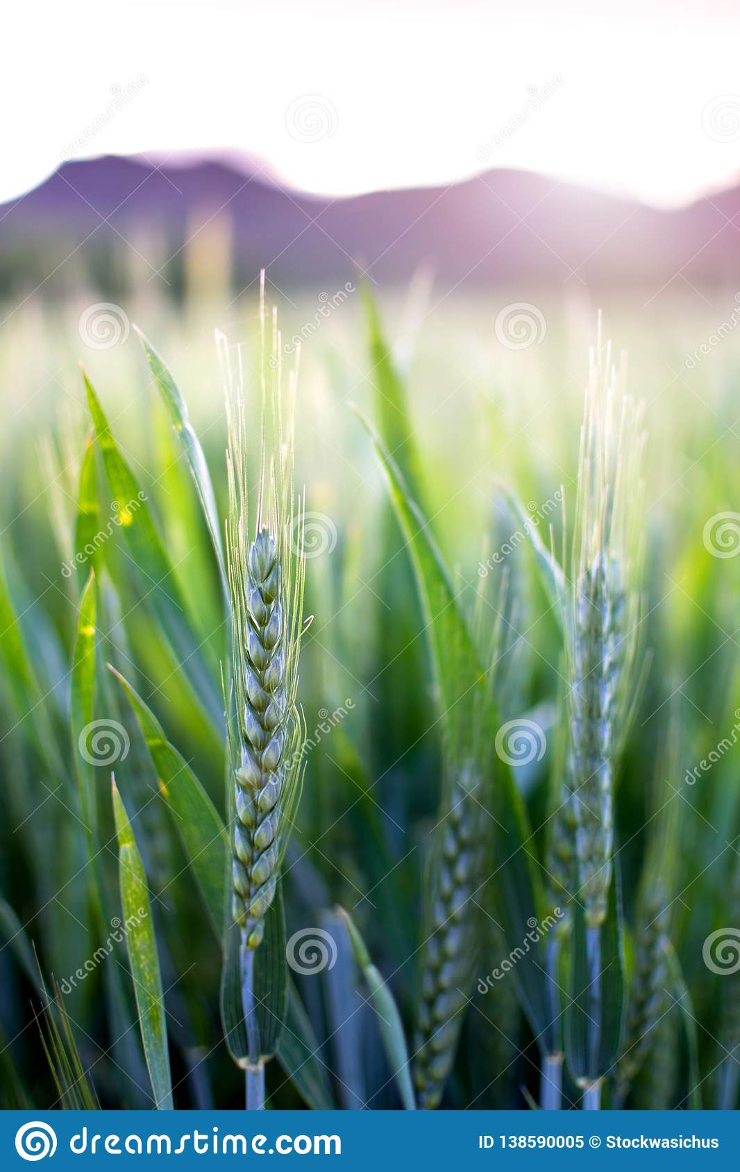 Wheat Plant In Spring. Green Crops Closeup At Sunset