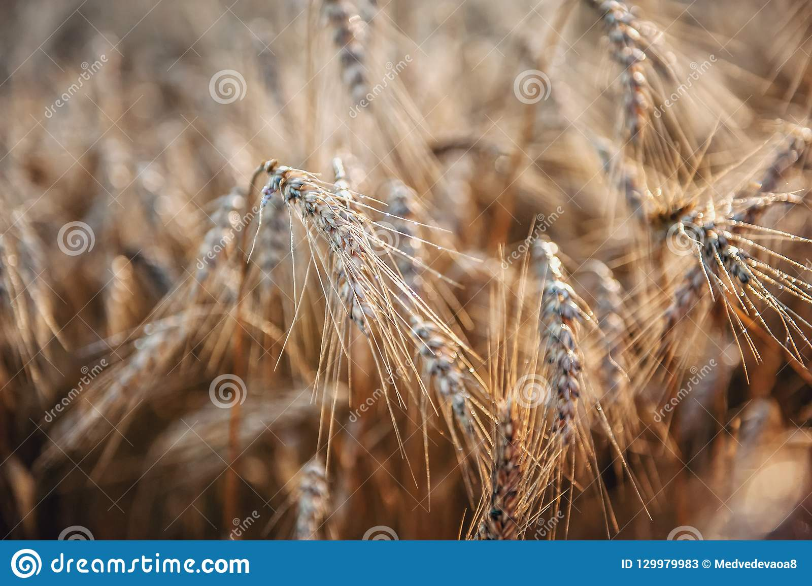 Wheat ripe ears in the morning dew close-up. Background.