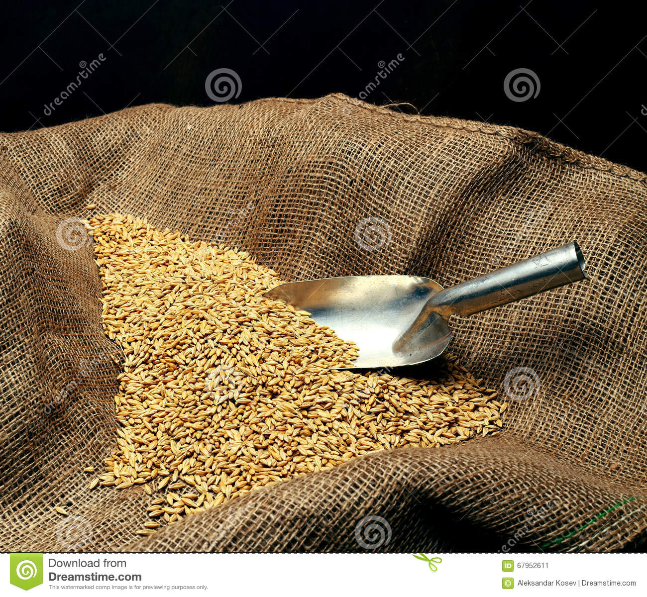 Wheat sowing seed