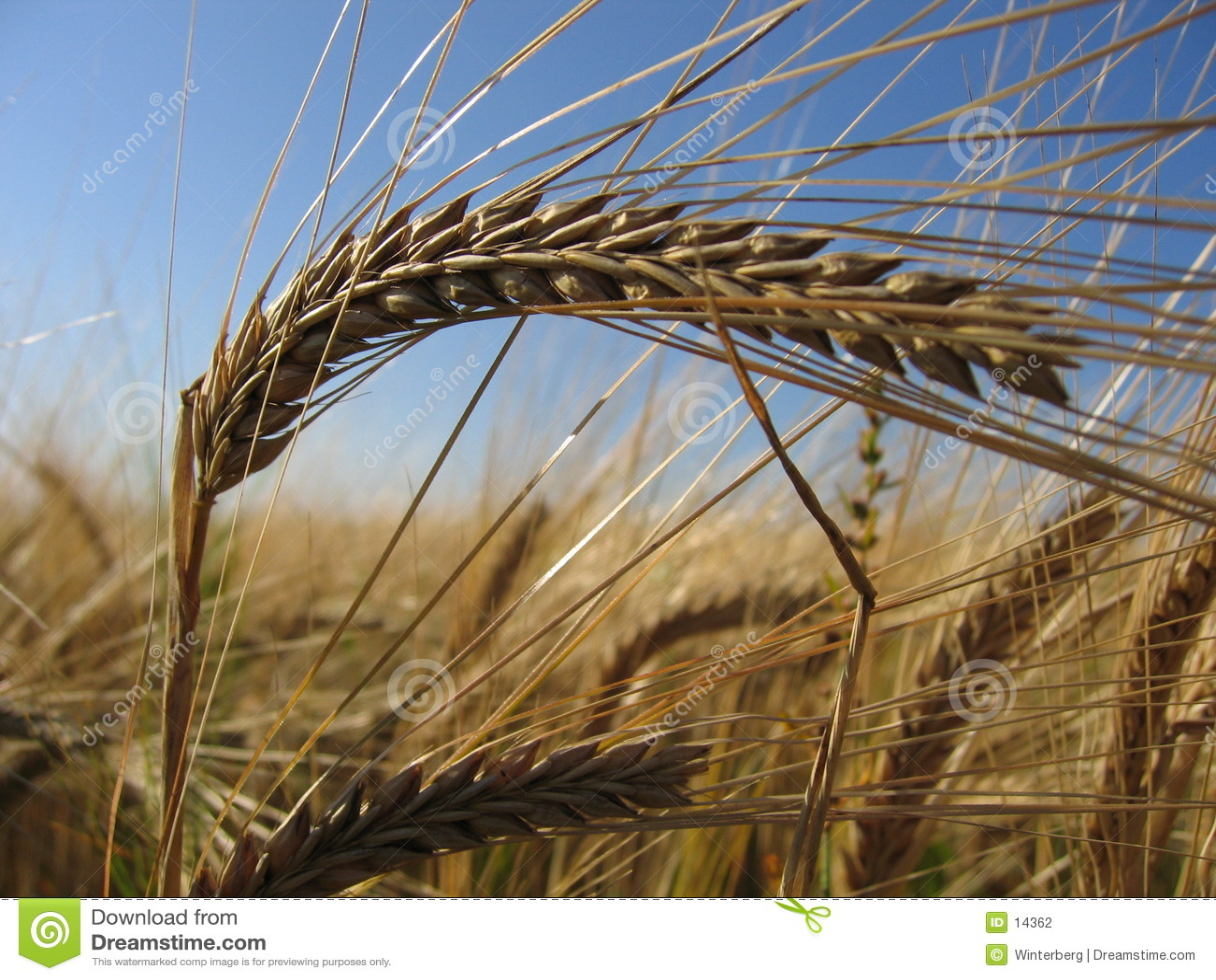 Wheat Spike II
