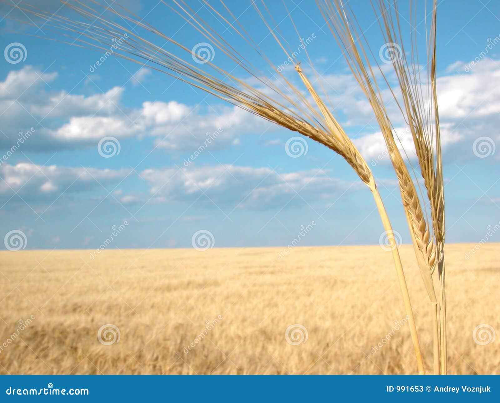 Wheat03