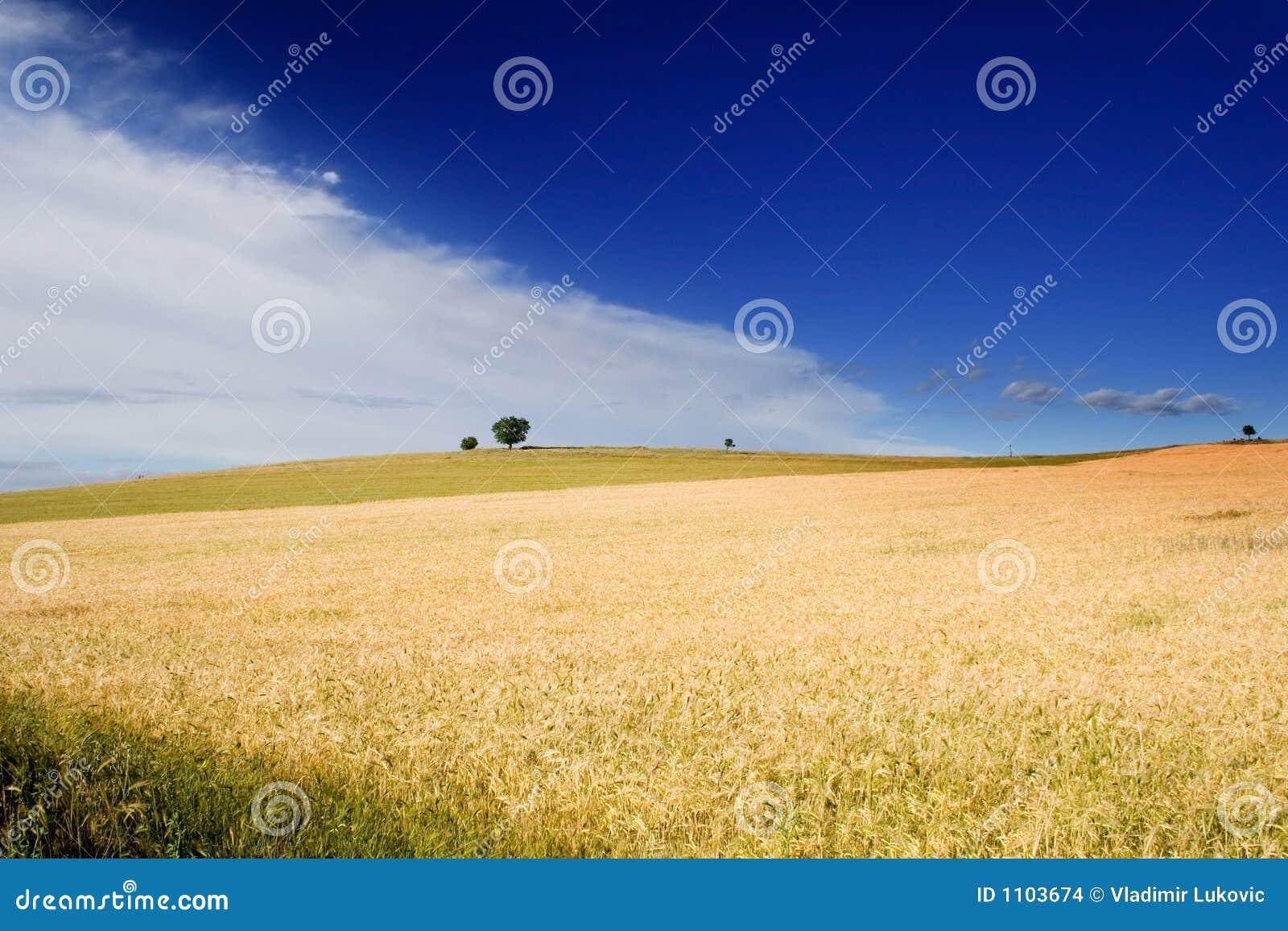 Wheatfield and a tree