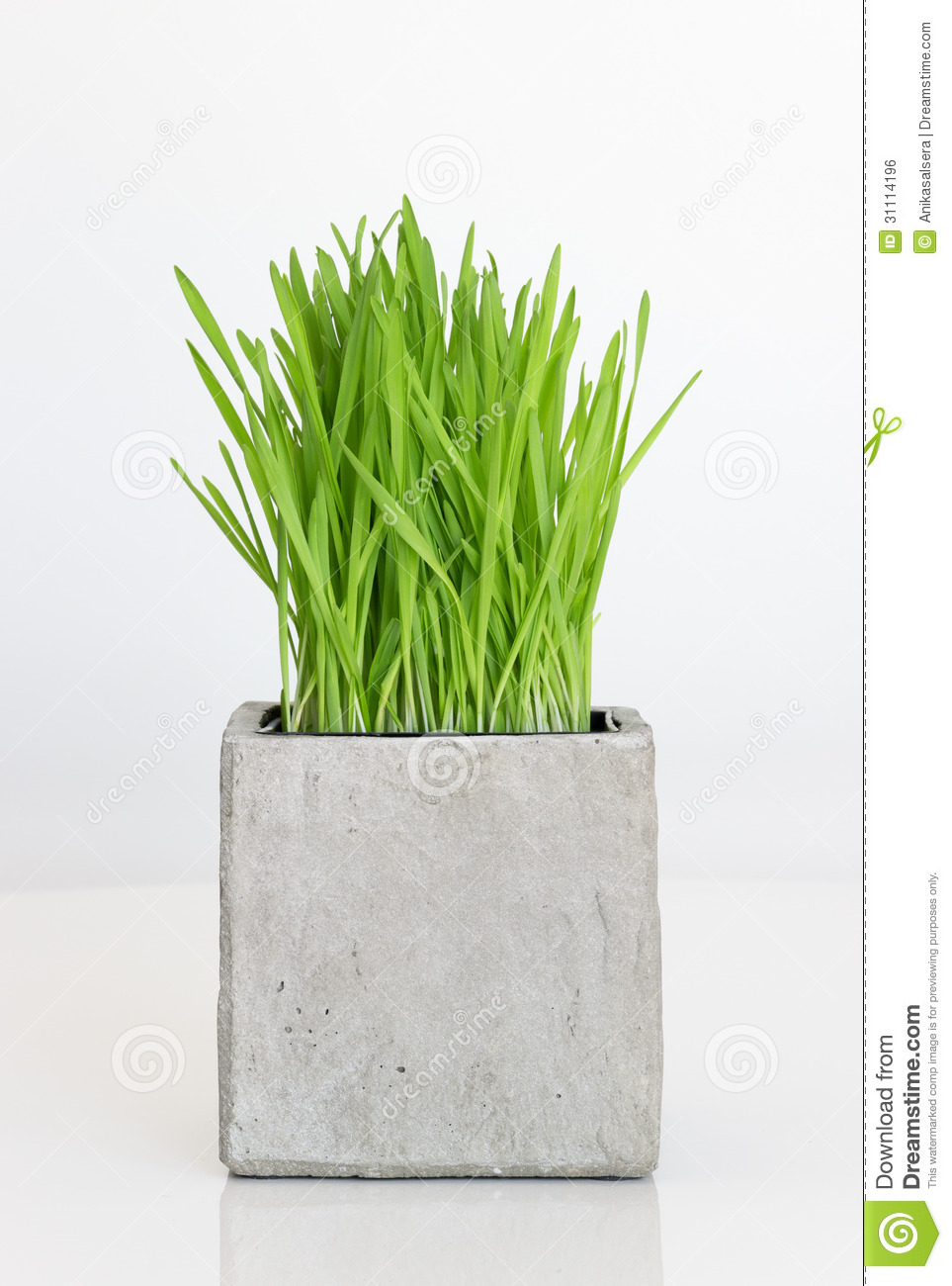 Wheatgrass Growing In Concrete Pot Stock Photo Image Of Modern