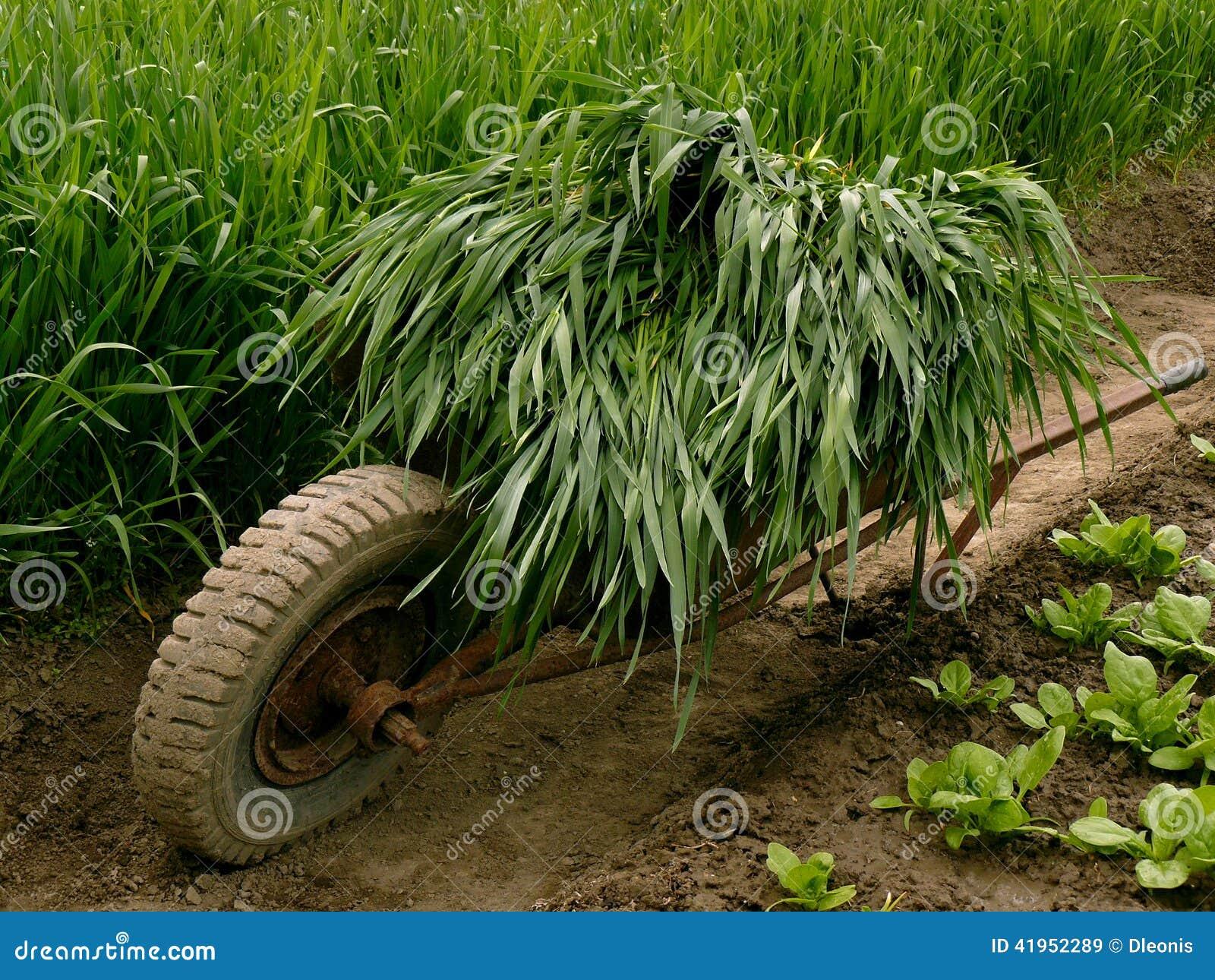 Wheelbarrow pełno zielona trawa