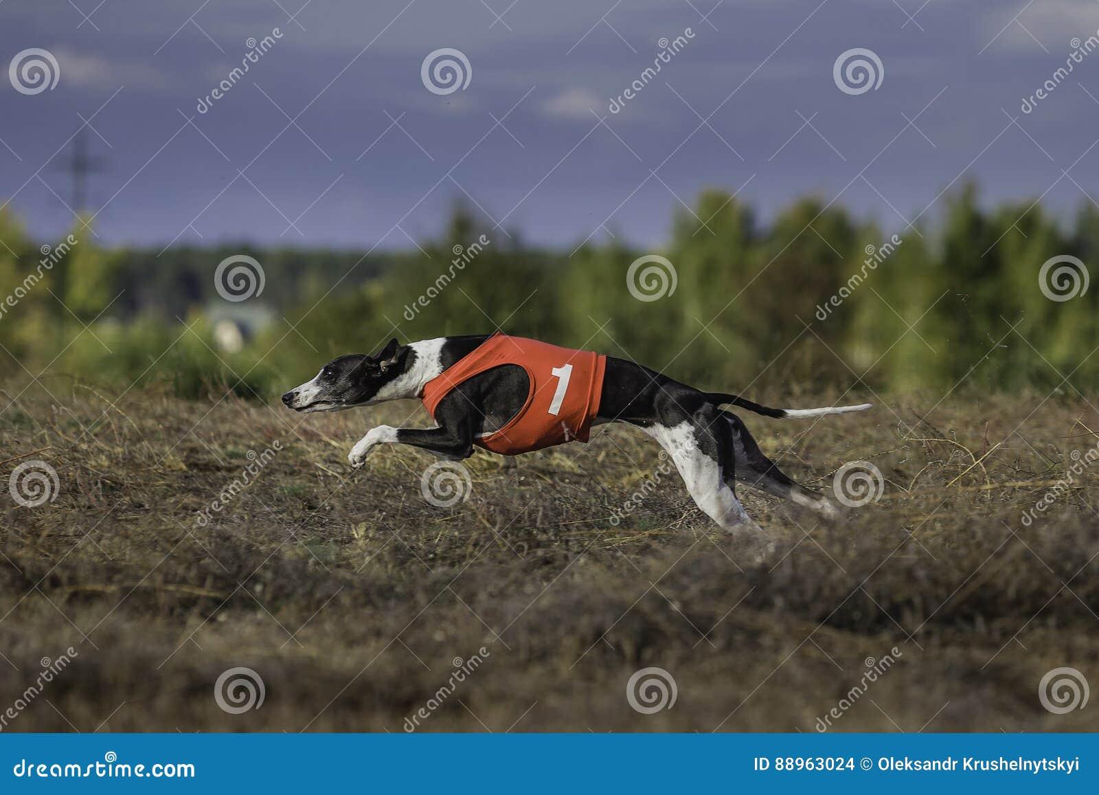 Whippet狗赛跑 追猎,激情和速度