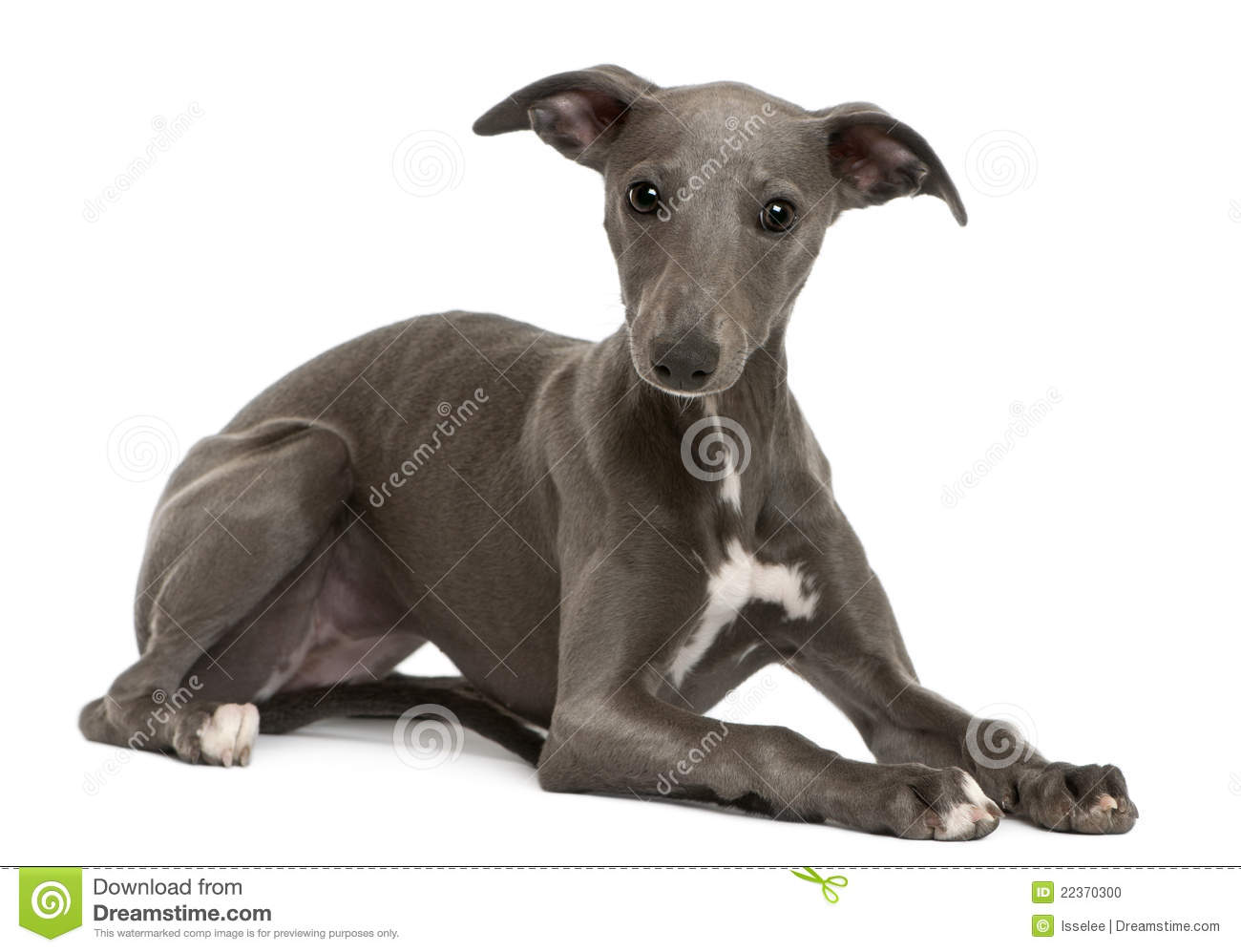 Whippet Puppy, 6 Months Old, Lying Stock Photo - Image: 22370300