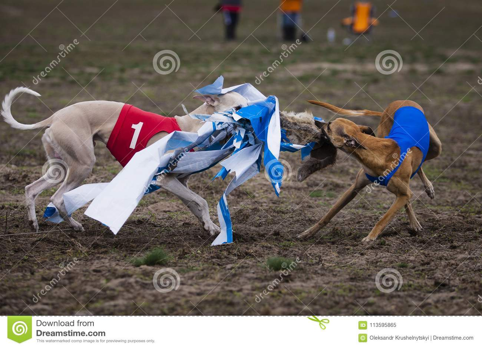 Whippethundspring i fältet
