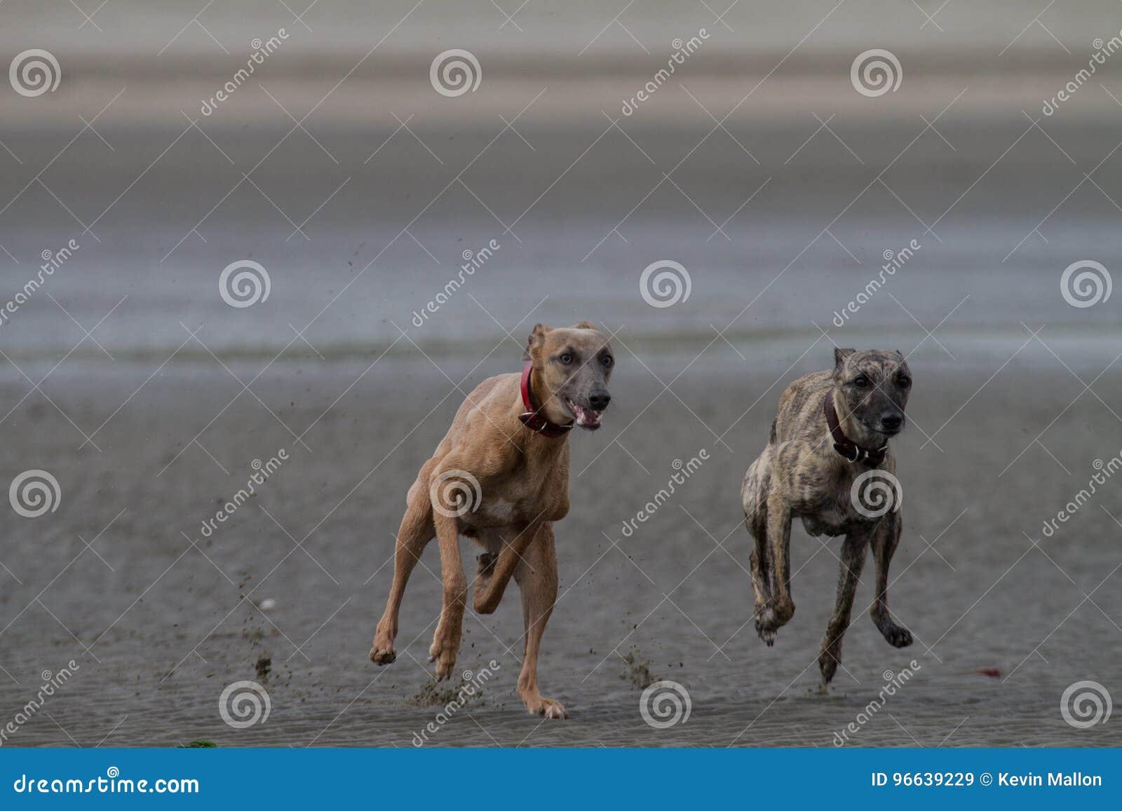 Whippets bieg na psiej życzliwej piaskowatej plaży