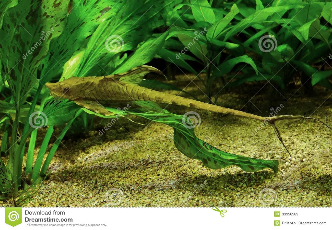 Whiptail Catfish Royalty Free Stock Images - Image: 33956589