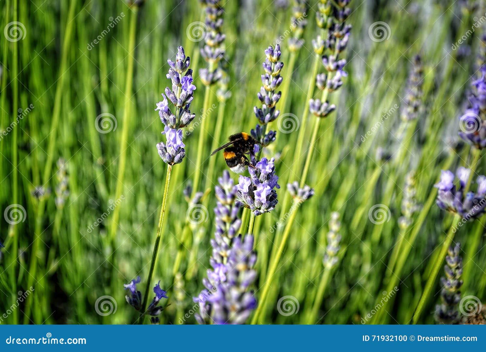 Whirligig на цветке лаванды