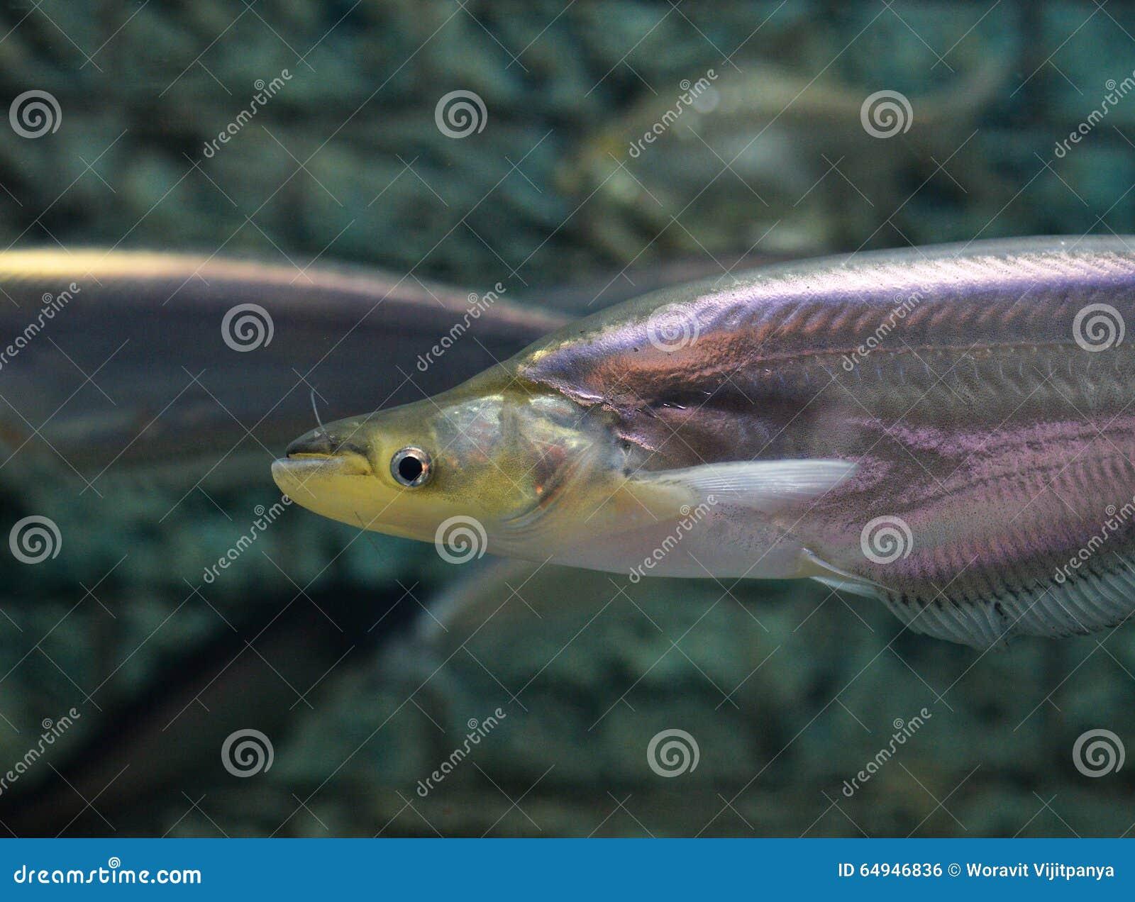 Whisker Sheatfish Stock Photo - Image: 64946836