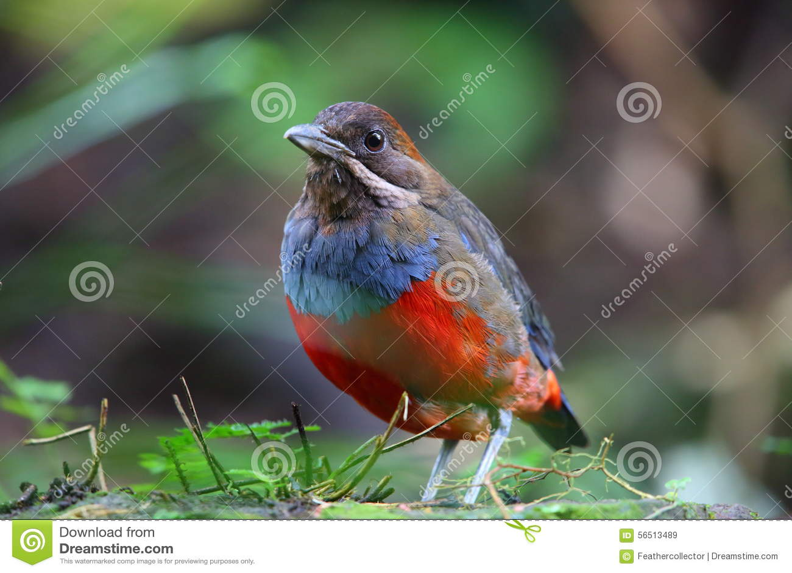 Download Whiskered Pitta stock image. Image of natural, animal - 56513489