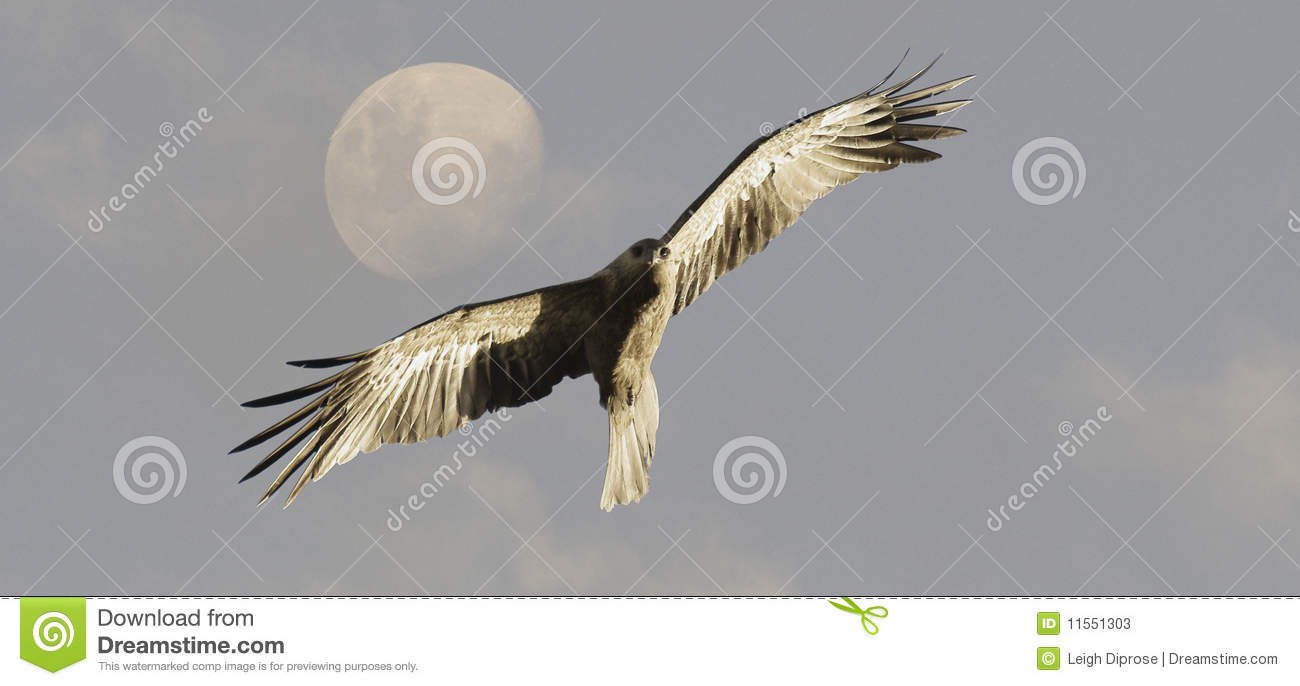 Whistling Kite bird in flight