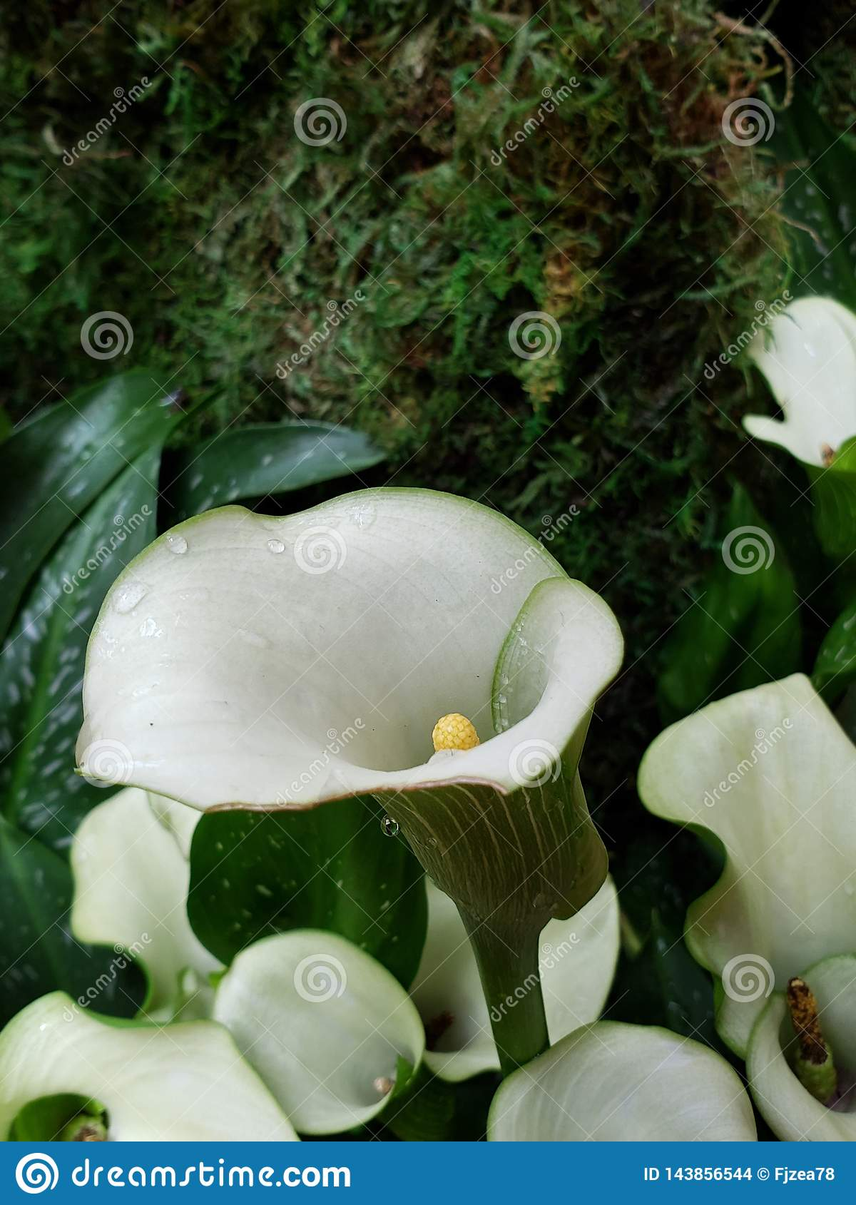 White Alcatraz Flower With Green In A Botanical Garden In Spring