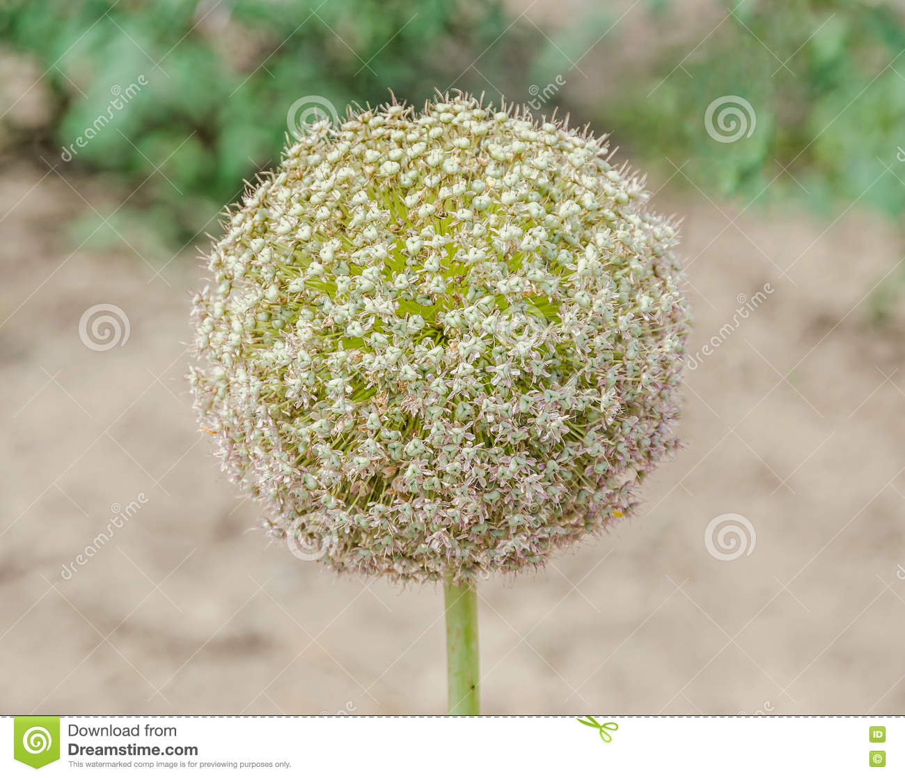 White Allium Flowers Ball Flower Genus Of Monocotyledonous Stock