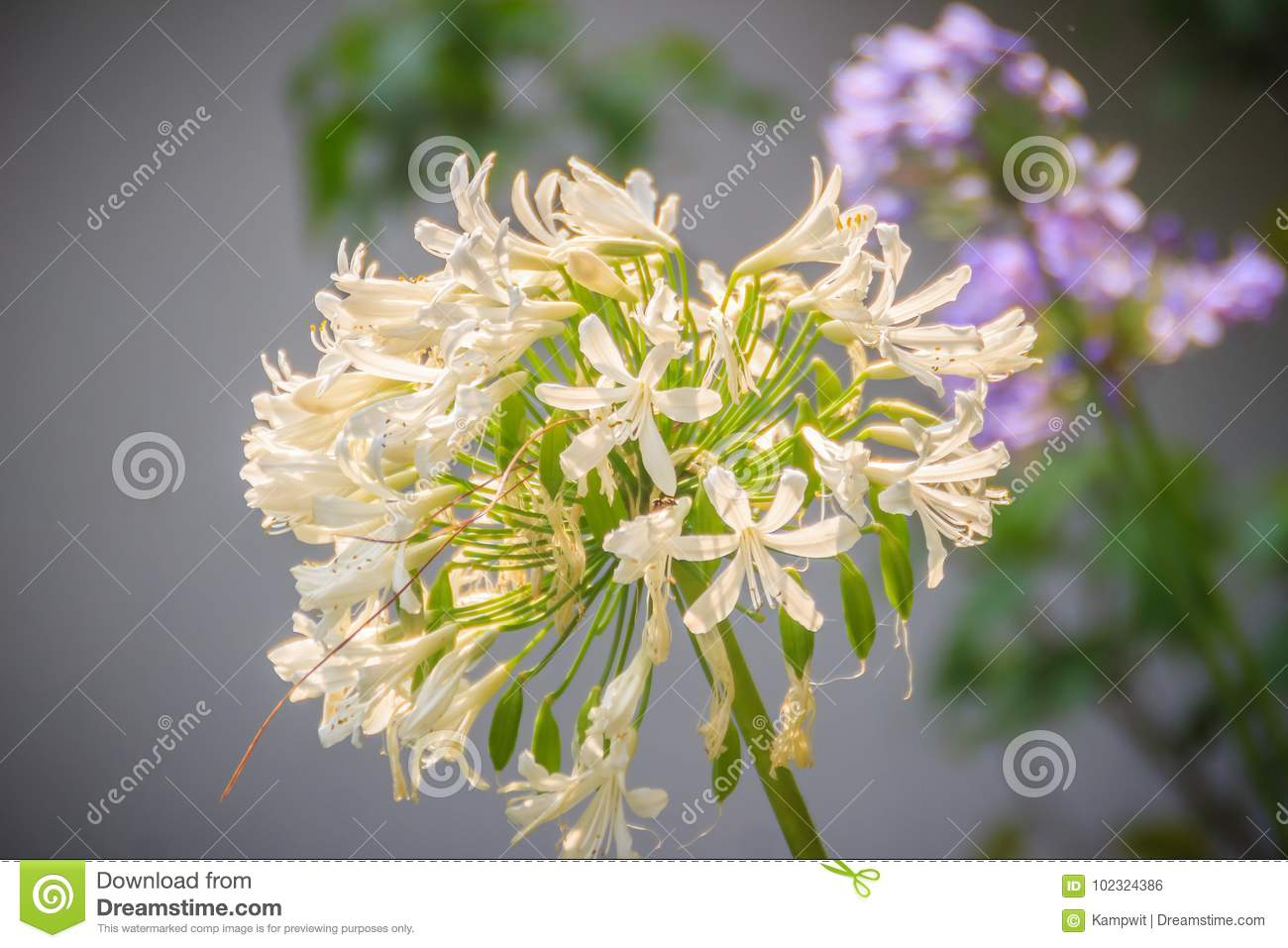 White Allium Flowers Bunch Allium Is A Genus Of Monocotyledonou