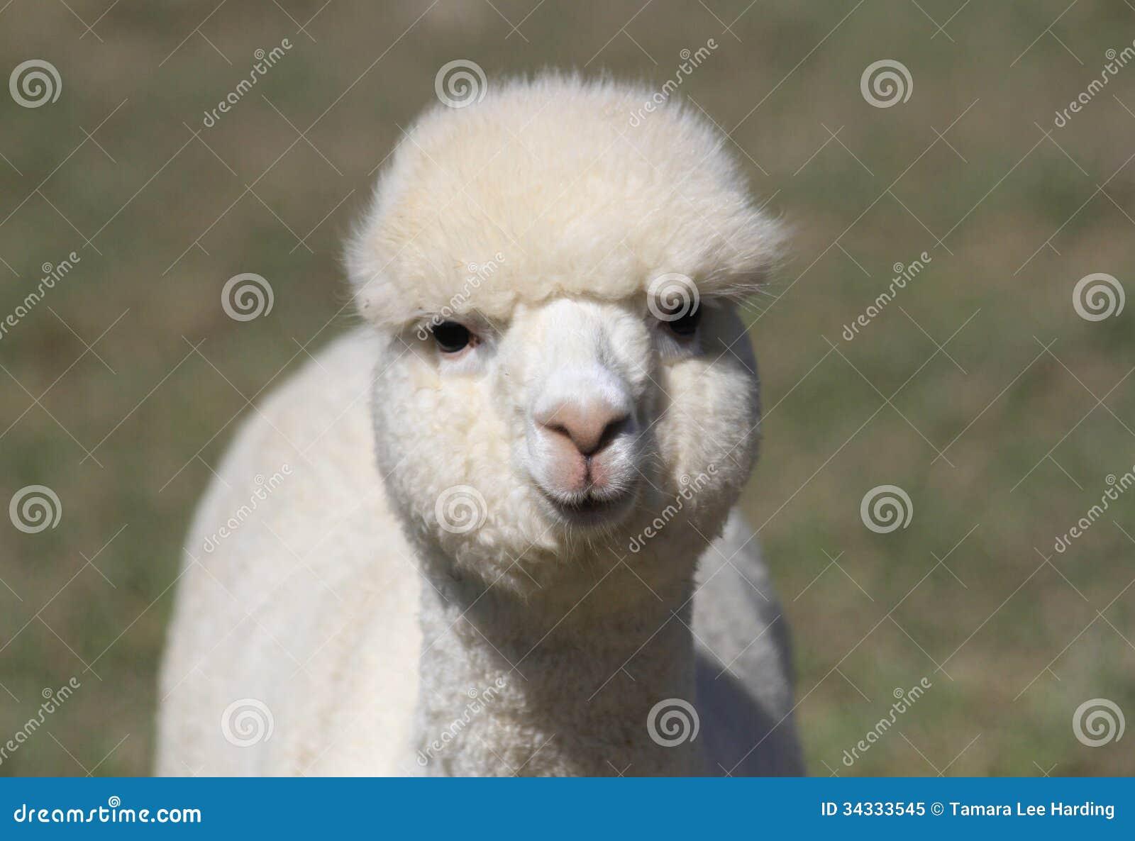 Alpaca Face White alpaca face