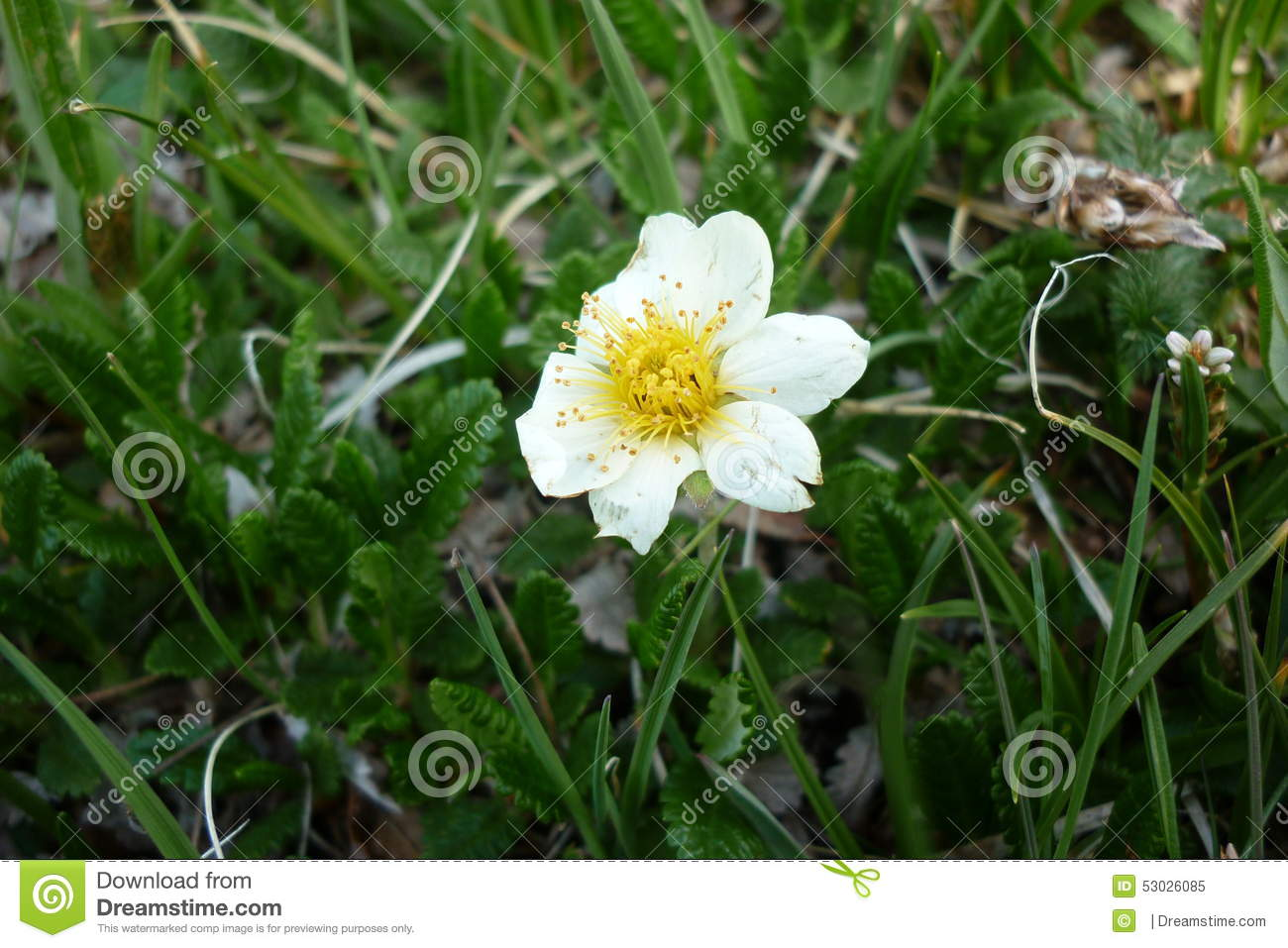 White Alpine Flower Stock Image Image Of Screen 53026085