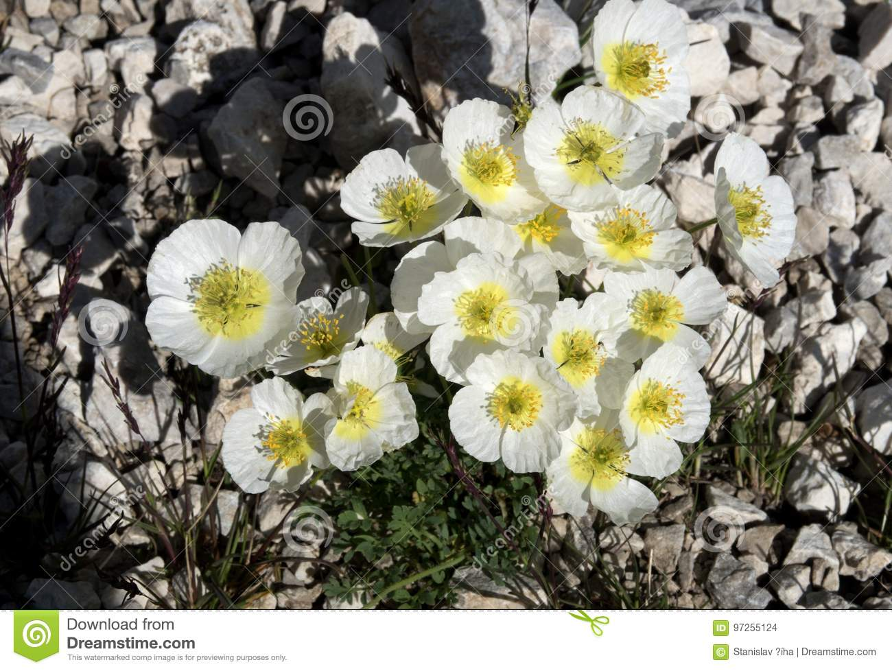 White Alpine Poppy Papaver Alpinum Flowers In Triglav National Park