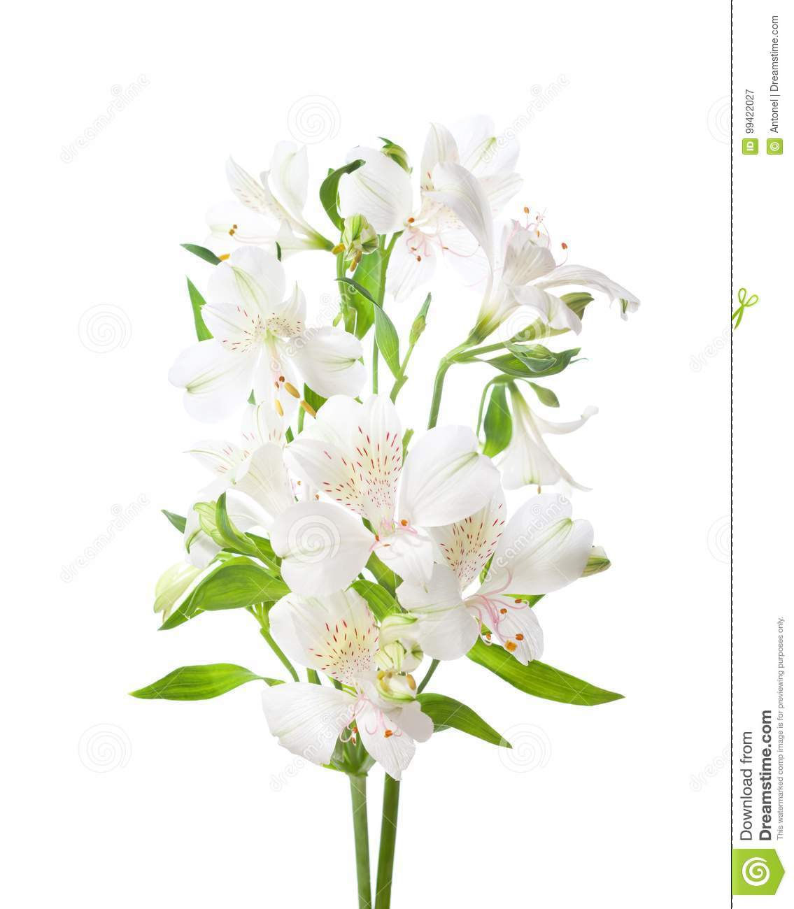 White alstroemeria flowers isolated on white background stock image download white alstroemeria flowers isolated on white background stock image image of color fragment mightylinksfo