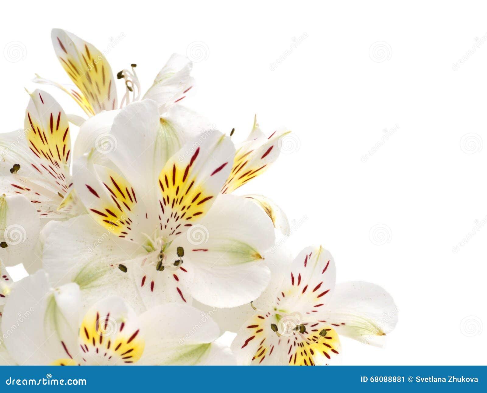 White alstroemeria flowers stock image image of delicate 68088881 white alstroemeria flowers mightylinksfo