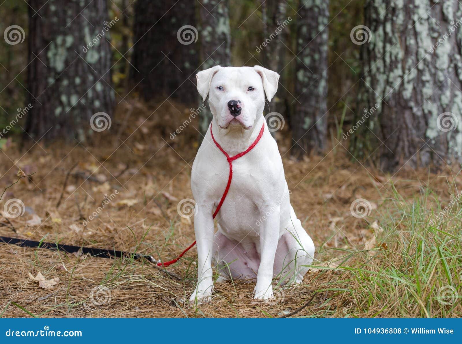 White American Pitbull Terrier dog with blue eye sitting