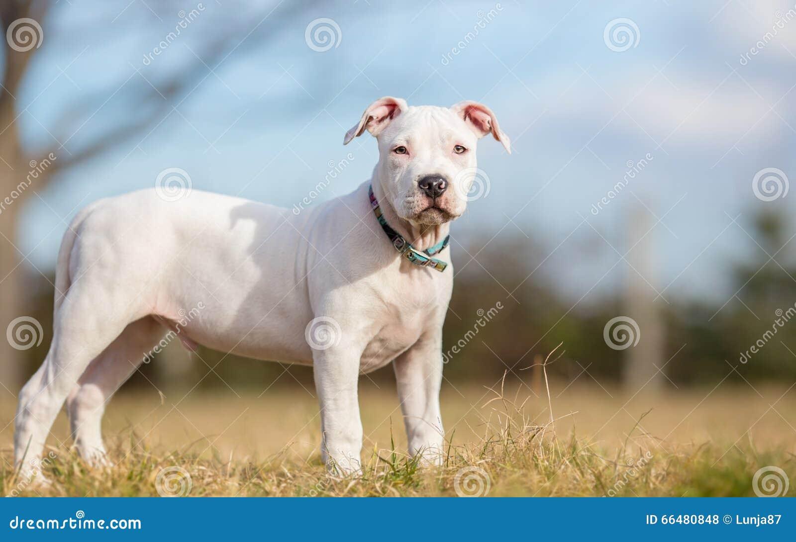 Daftar Harga White American Termurah 2018 Standard Seat Cover Mtc 0612 Pp Scv080610 P Staffordshire Terrier Www Pixshark