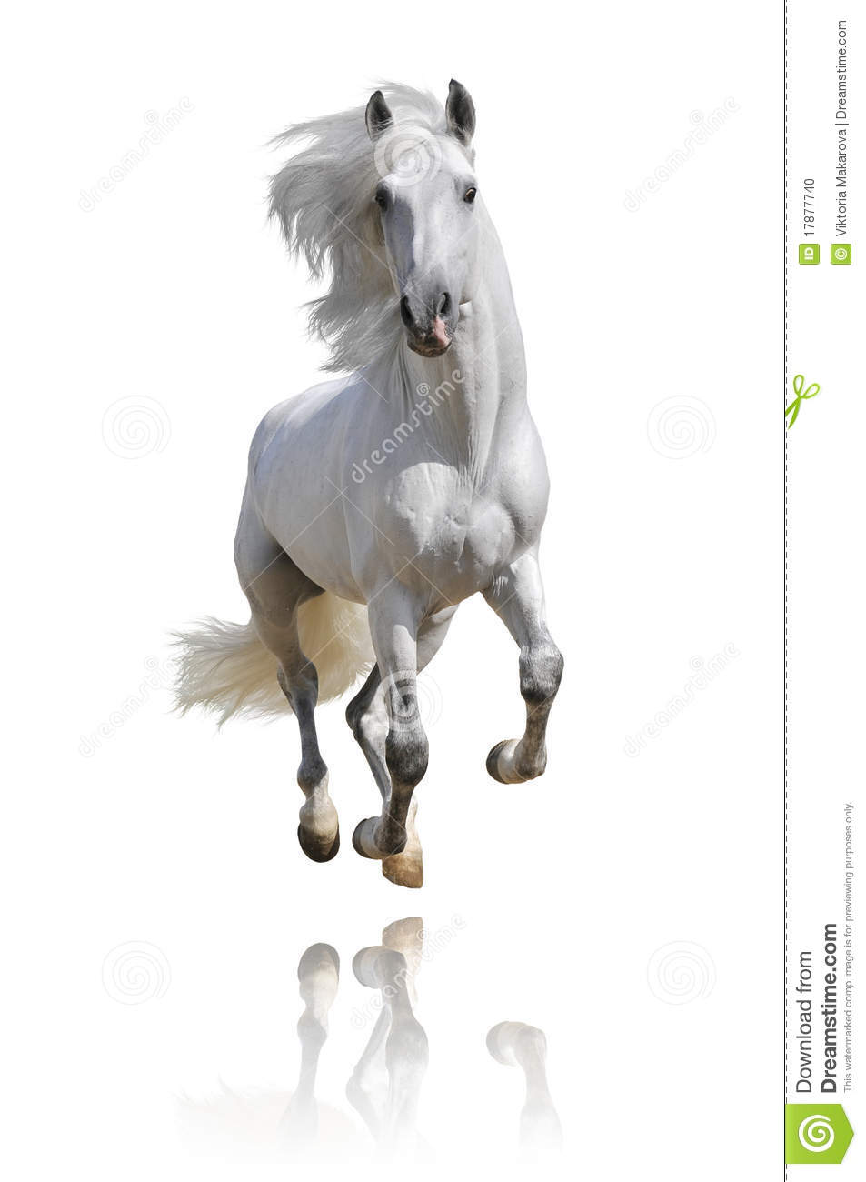 white andalusian horse isolated stock photo