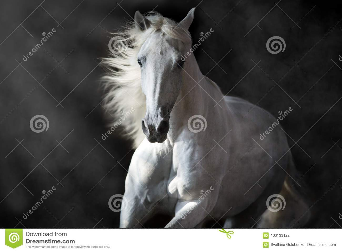 White andalusian horse in motion