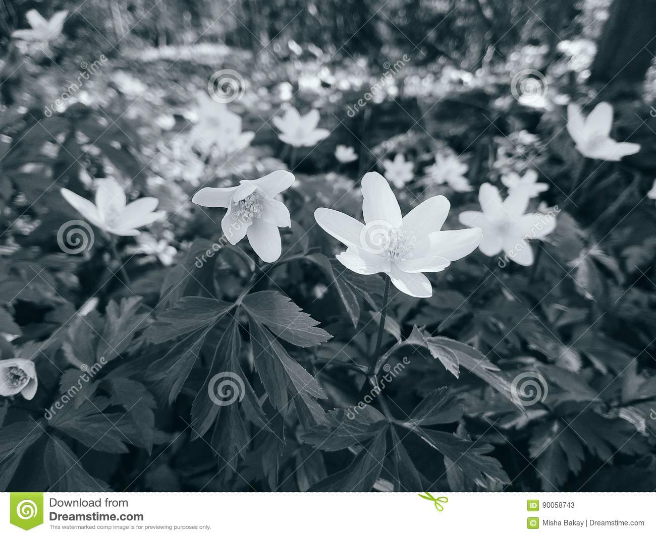 White Anemones Stock Image Image Of Ukraine Flowers 90058743