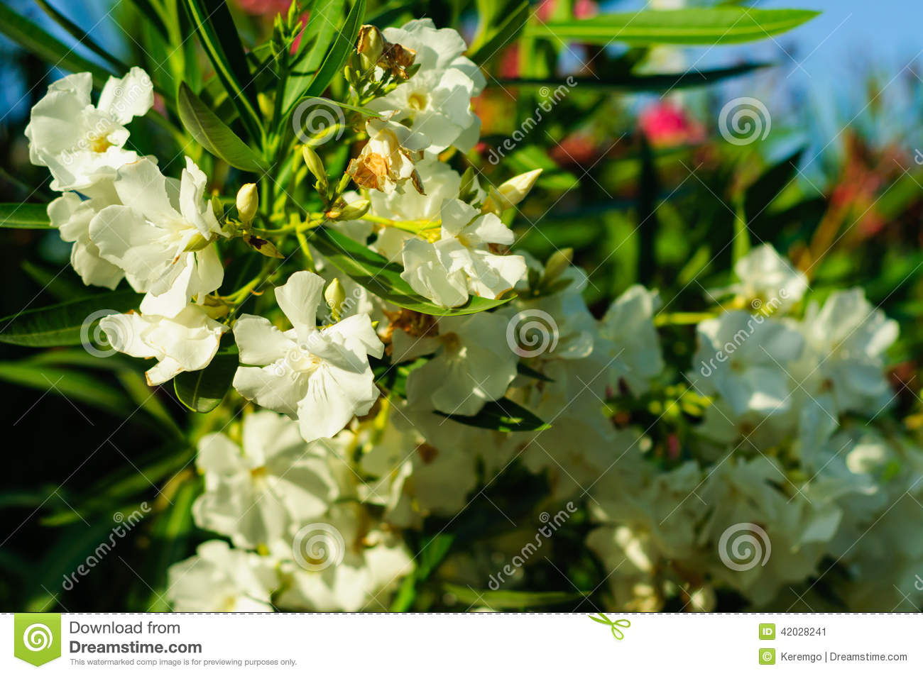 White angel flower stock image image of landscape vivid 42028241 beautiful and elegant white angel flower in a warm summer day mightylinksfo