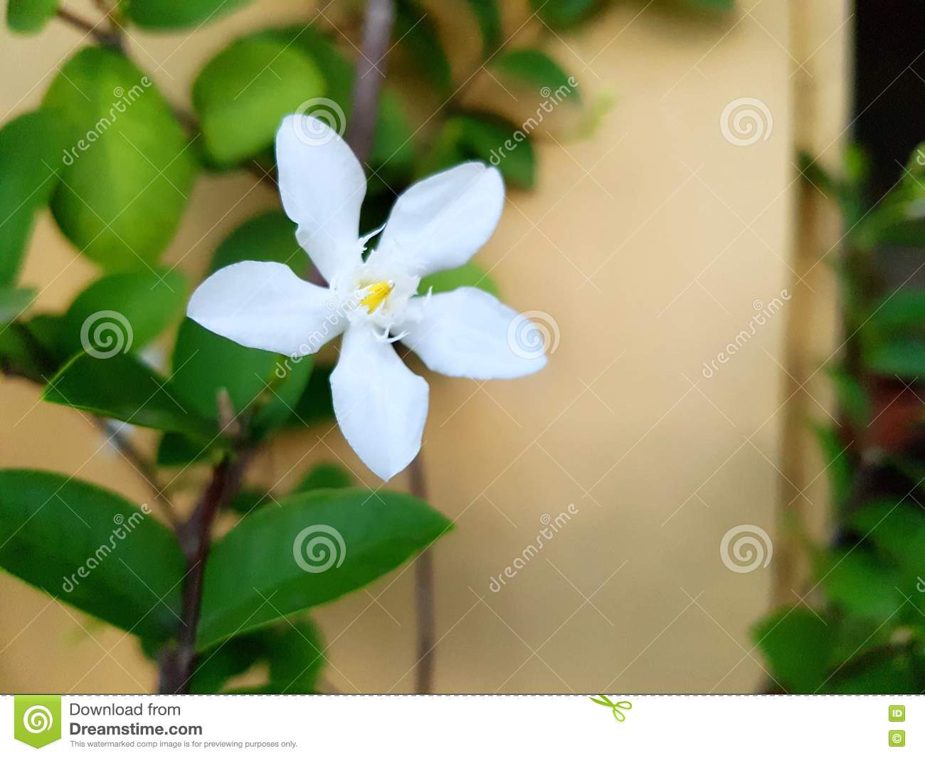 White Angel Flower Stock Image Image Of Flower Other 80710995