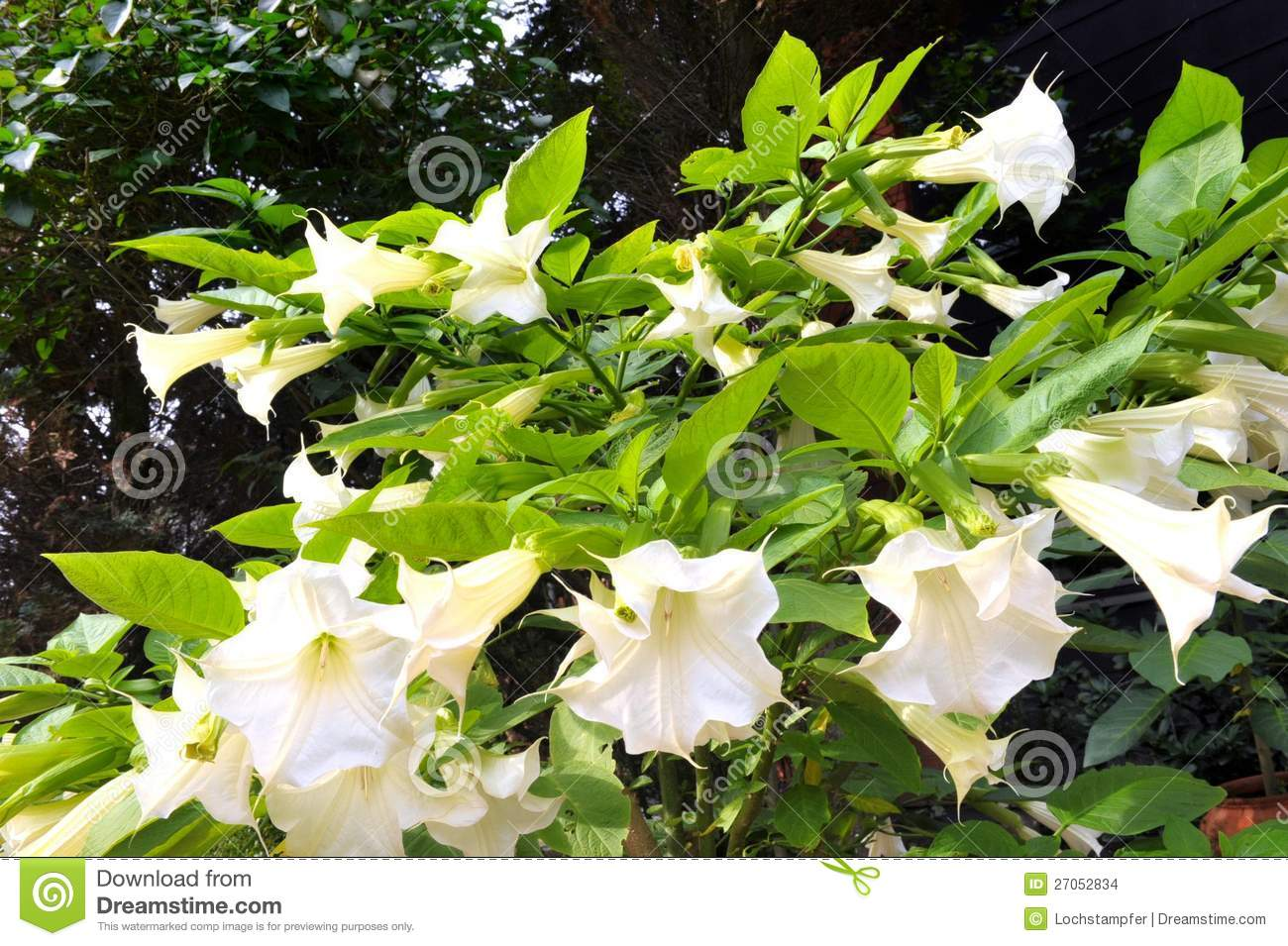 White angel trumpet stock photo image of drugs flower 27052834 download white angel trumpet stock photo image of drugs flower 27052834 mightylinksfo