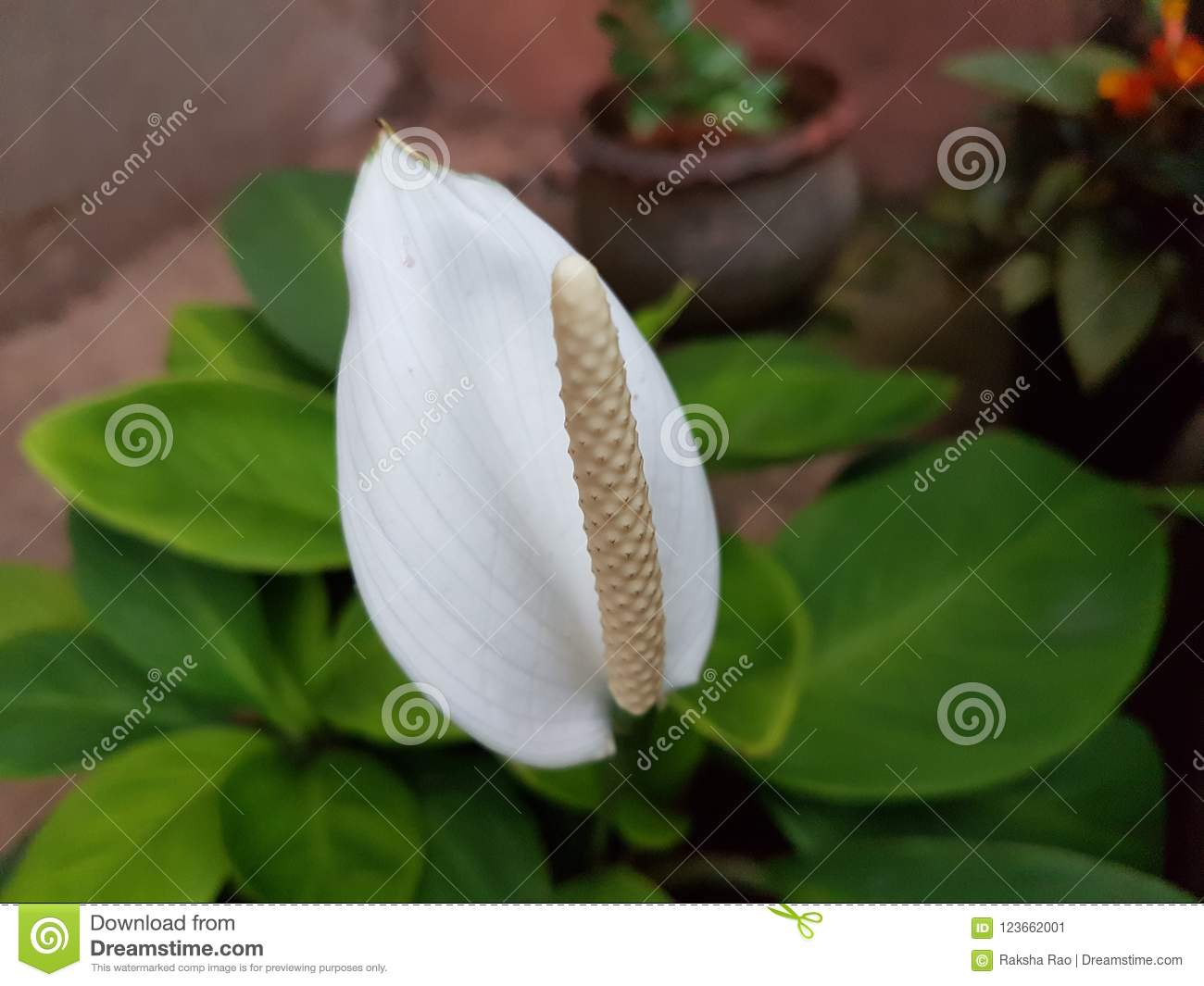 White Anthurium Flower In The Garden Stock Image Image Of Growing