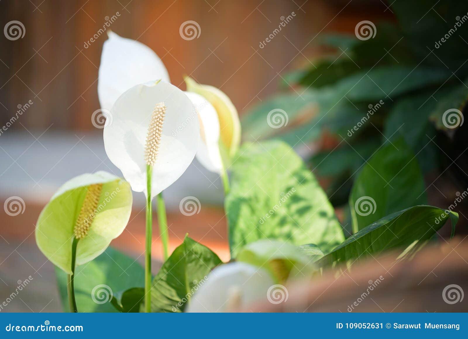 White Anthurium Flowers Stock Image Image Of Greenhouse 109052631