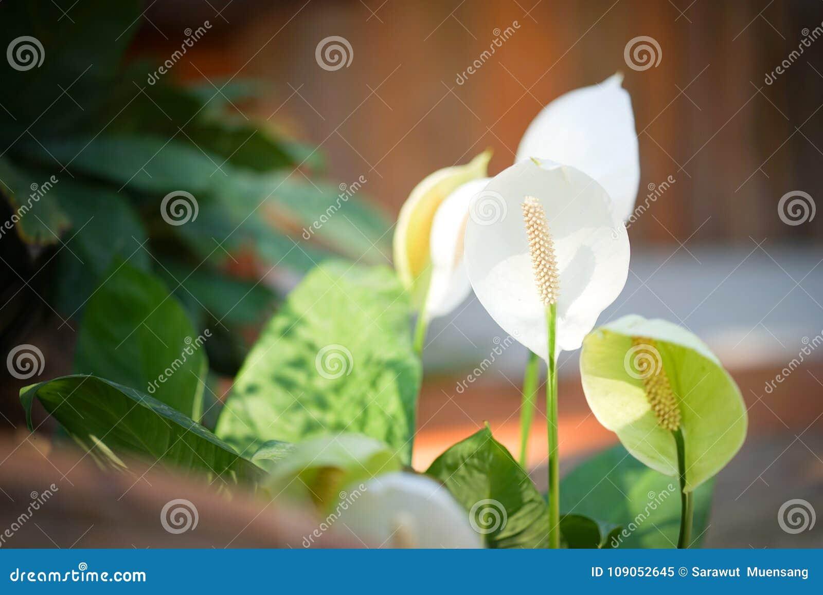 White Anthurium Flowers Stock Image Image Of Gardening 109052645
