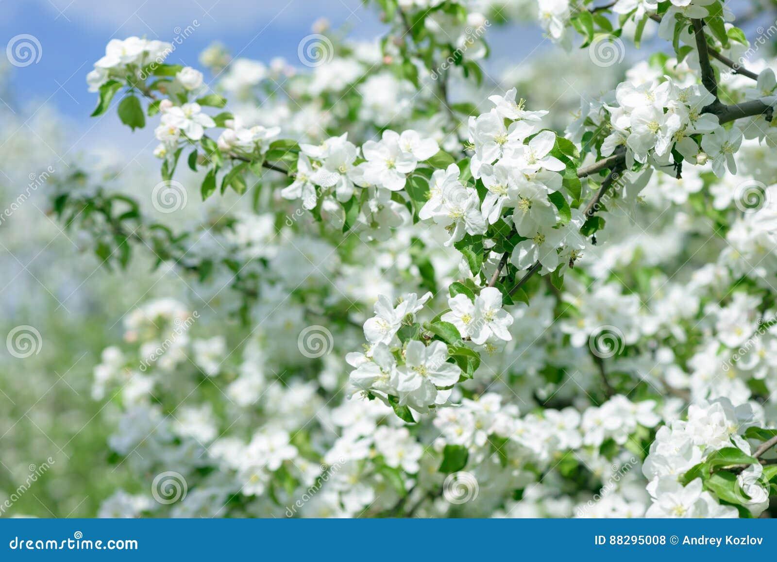 White apple flowers beautiful flowering apple trees background download white apple flowers beautiful flowering apple trees background with blooming flowers in spring mightylinksfo
