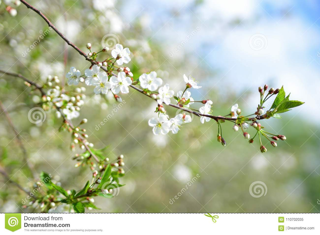 White apple flowers beautiful flowering apple trees background download white apple flowers beautiful flowering apple trees background with blooming flowers in spring mightylinksfo