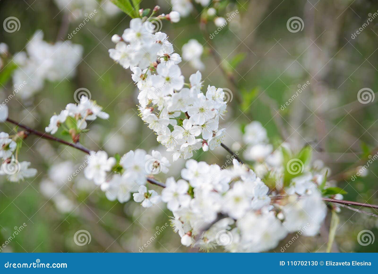 White Apple Flowers Beautiful Flowering Apple Trees Background