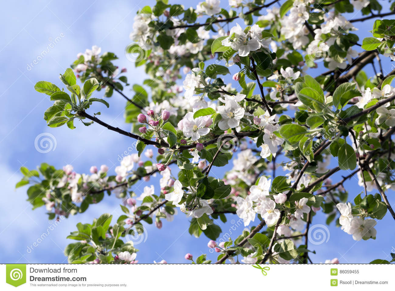 White Apple Flowers In May Stock Image Image Of Blue 86059455
