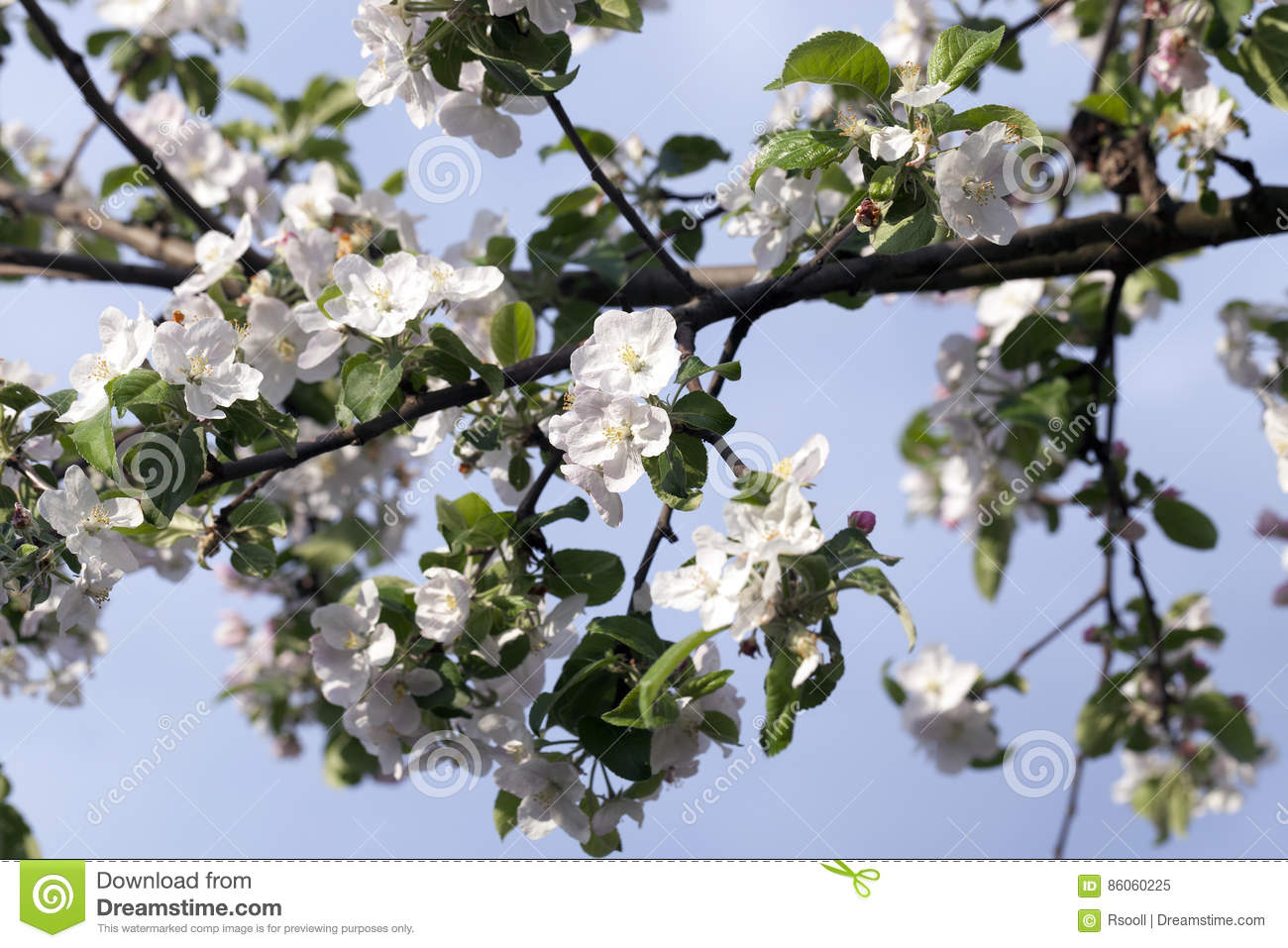 White Apple Flowers In May Stock Image Image Of Aromatic 86060225