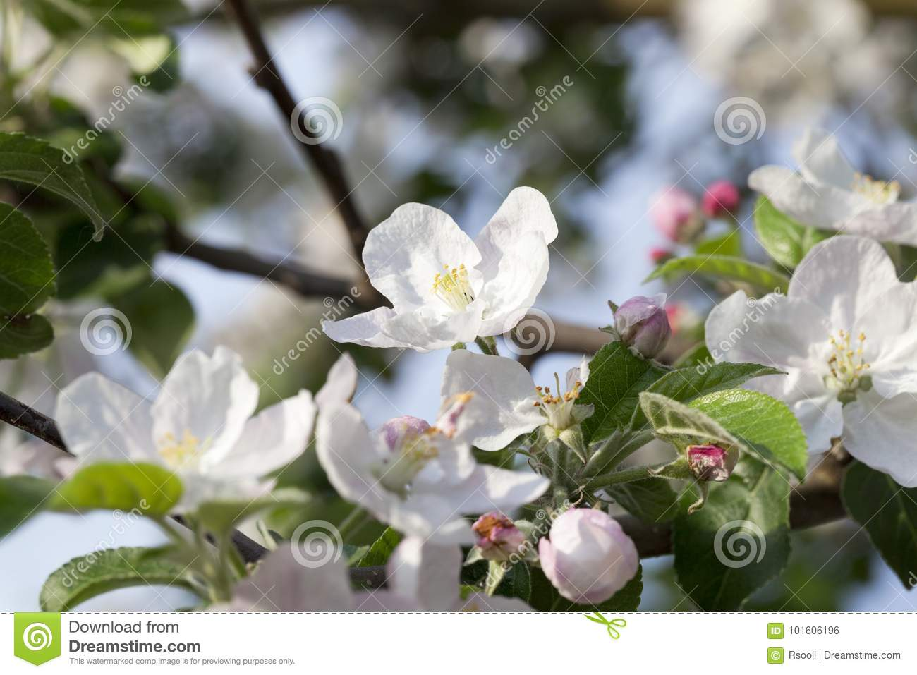 White Apple Flowers In May Stock Photo Image Of Detail 101606196