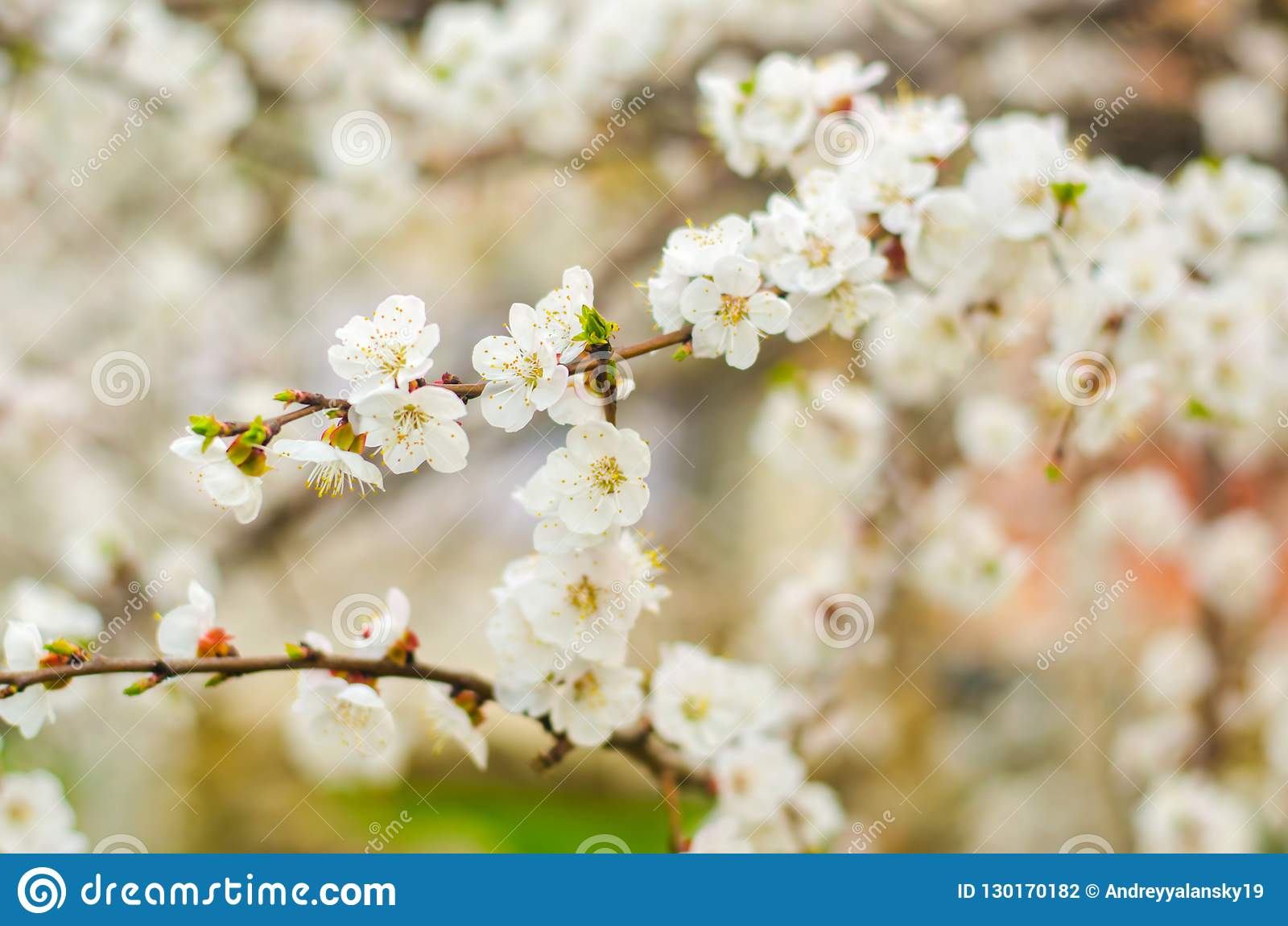 White Apricot Blossom Buds Flowering Tree In Aprile Concept Of
