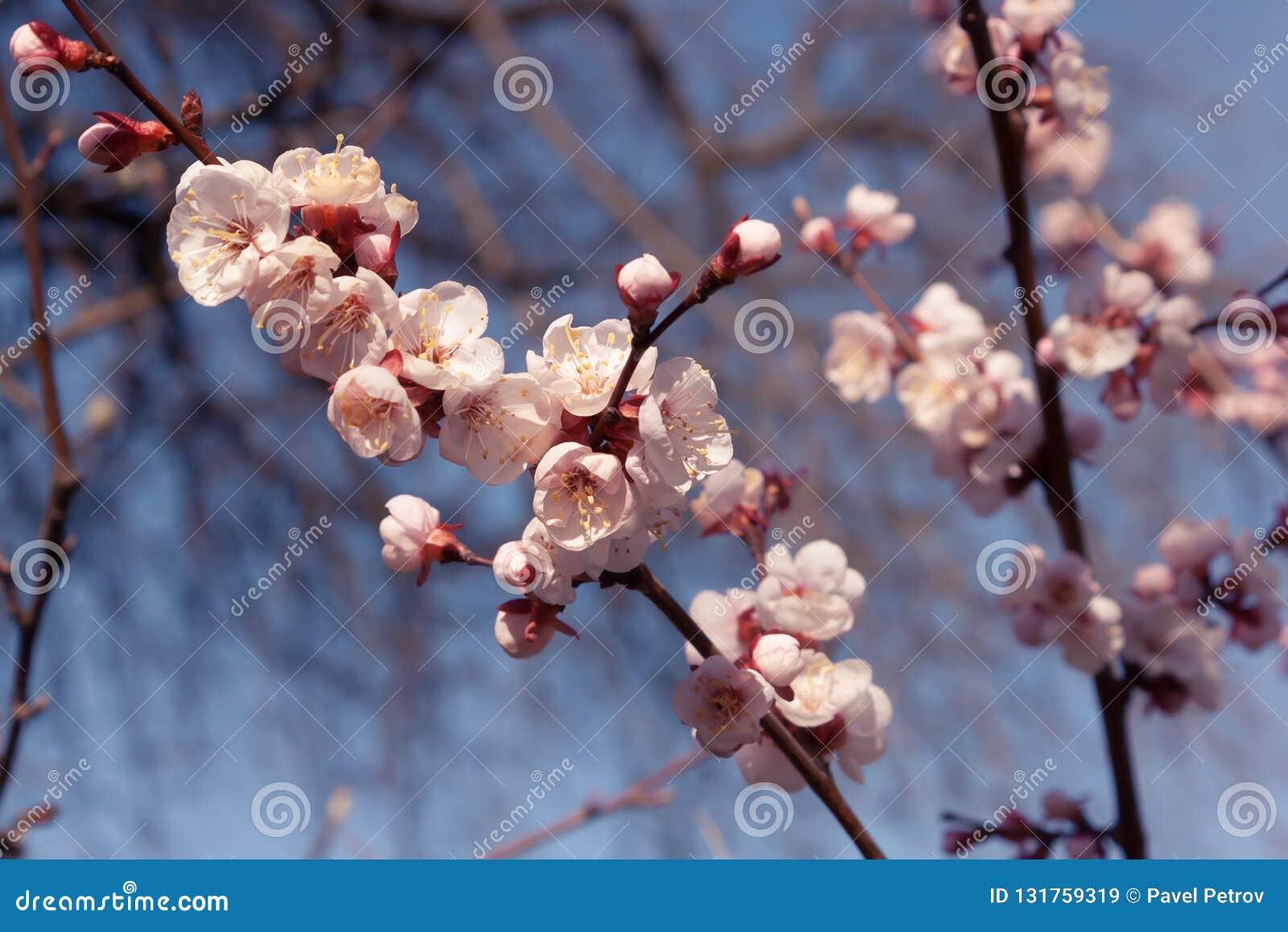 White apricot flowers. Beautiful flowering apricot tree. Blue sky, bokeh