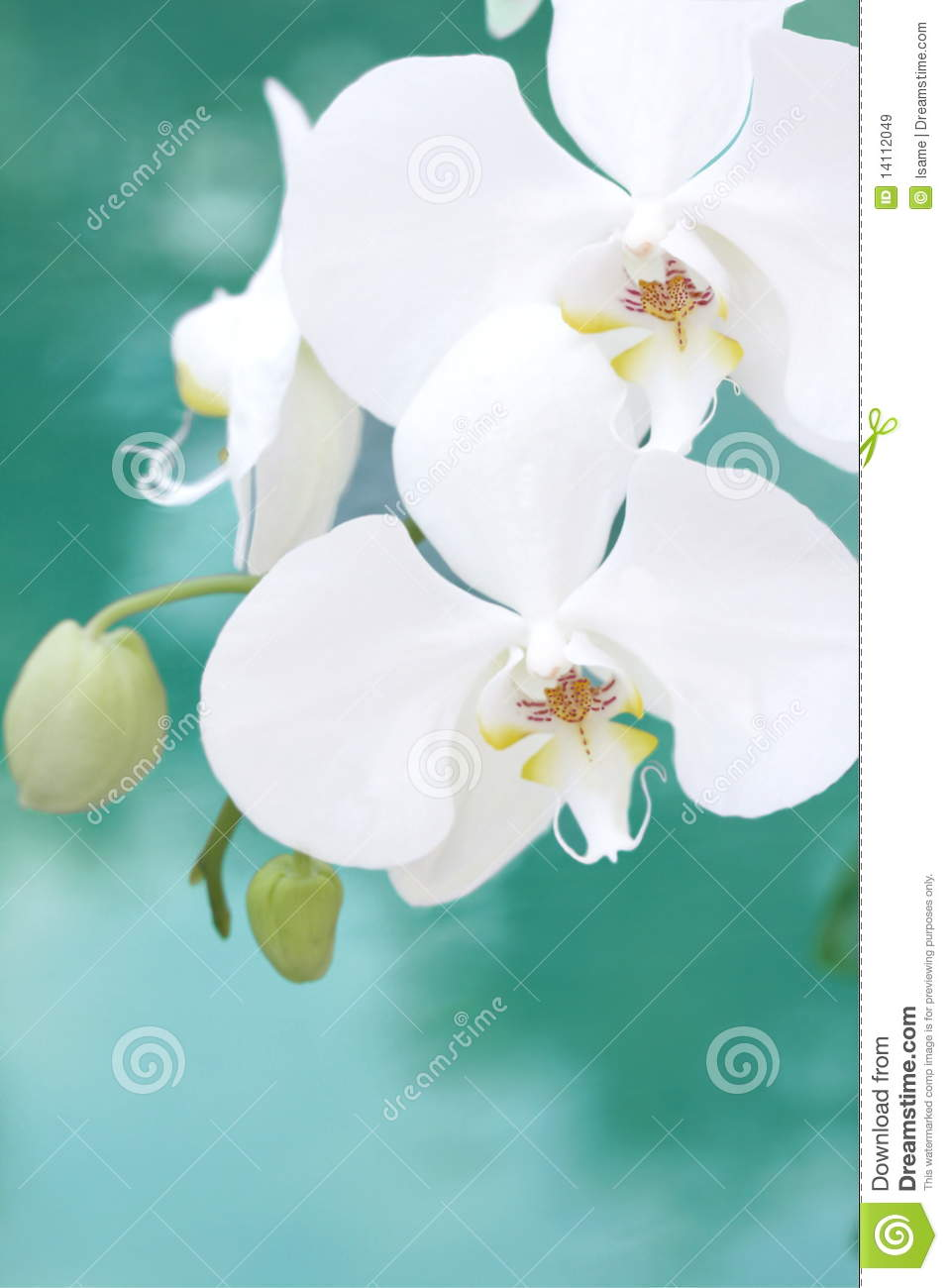 White aquarelle orchid